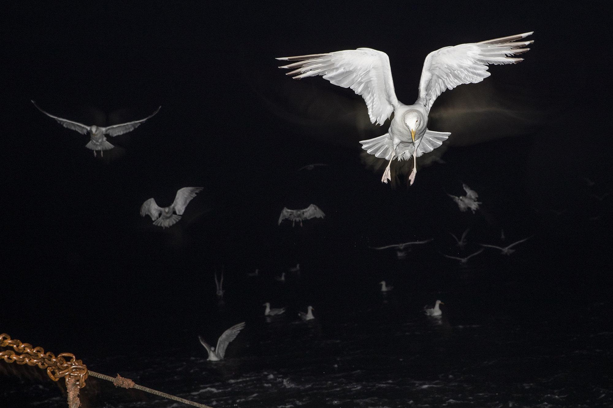 Чайки следуют зарыболовным судном, Гастингс, Англия.