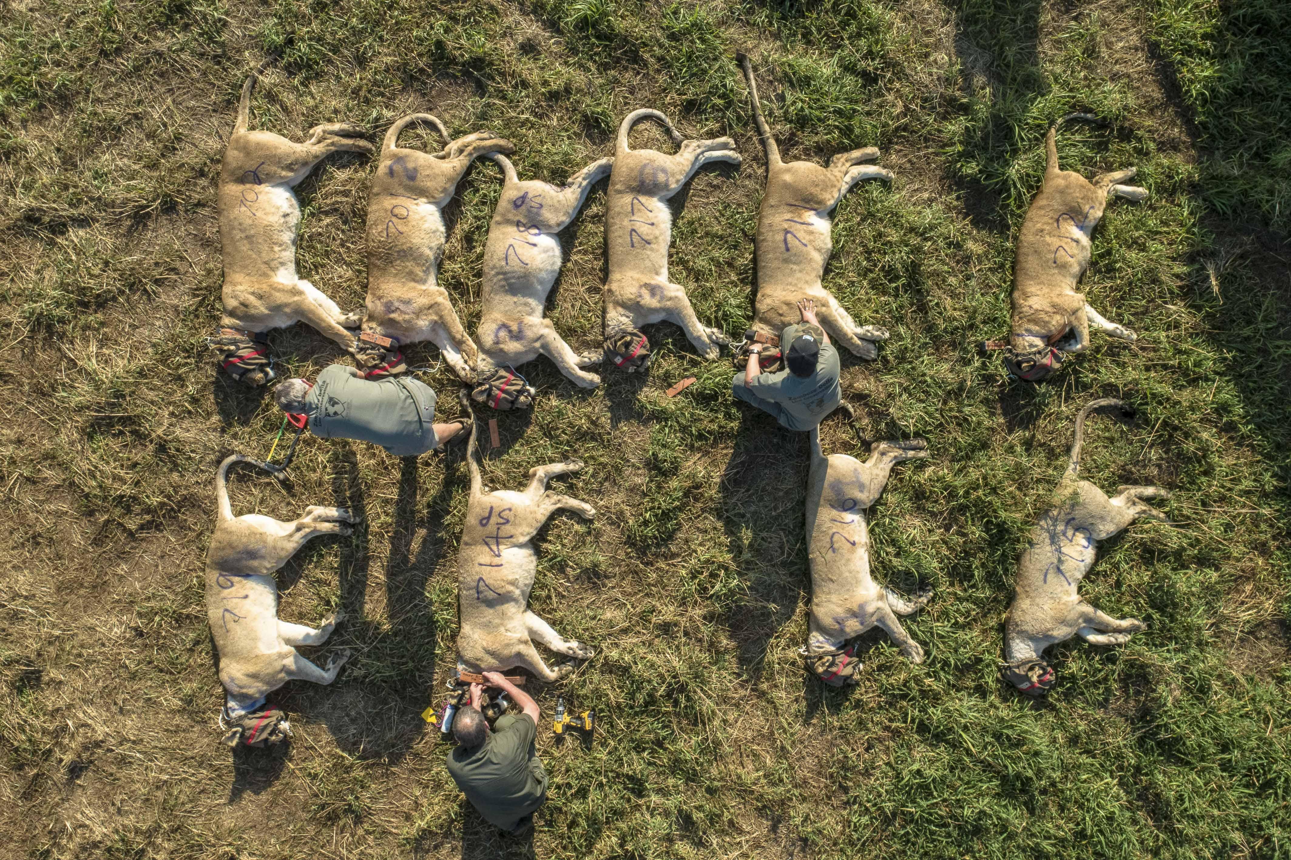 Десятки усыпленных львов готовят ктранспортировке взаповедник Zabeze Delta Conservation вЮжноафриканской республике