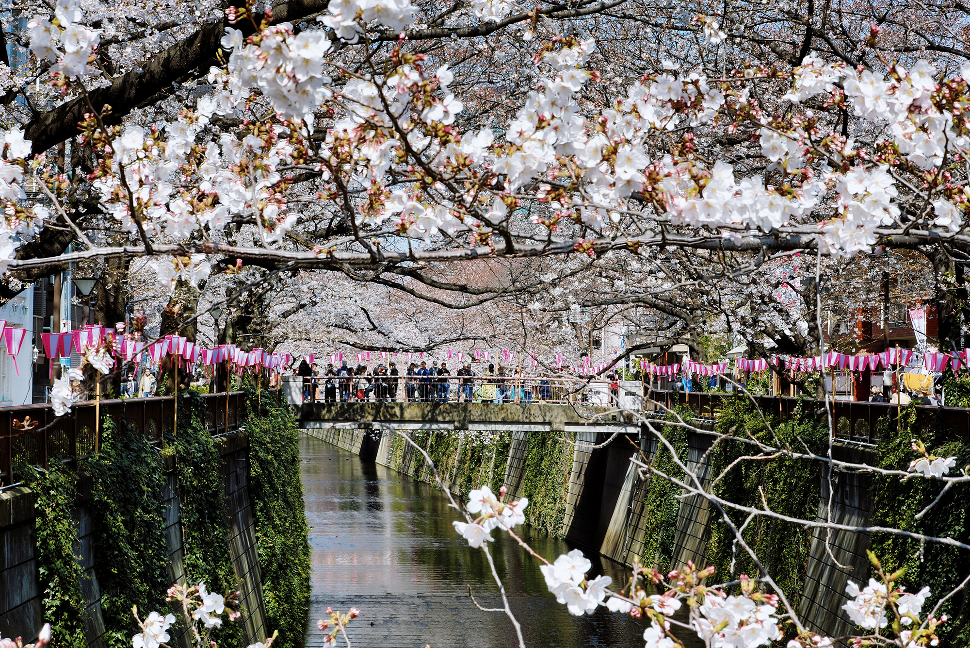 Люди смотрят нацветущую вищню смоста черезреку Мегуро вТокио