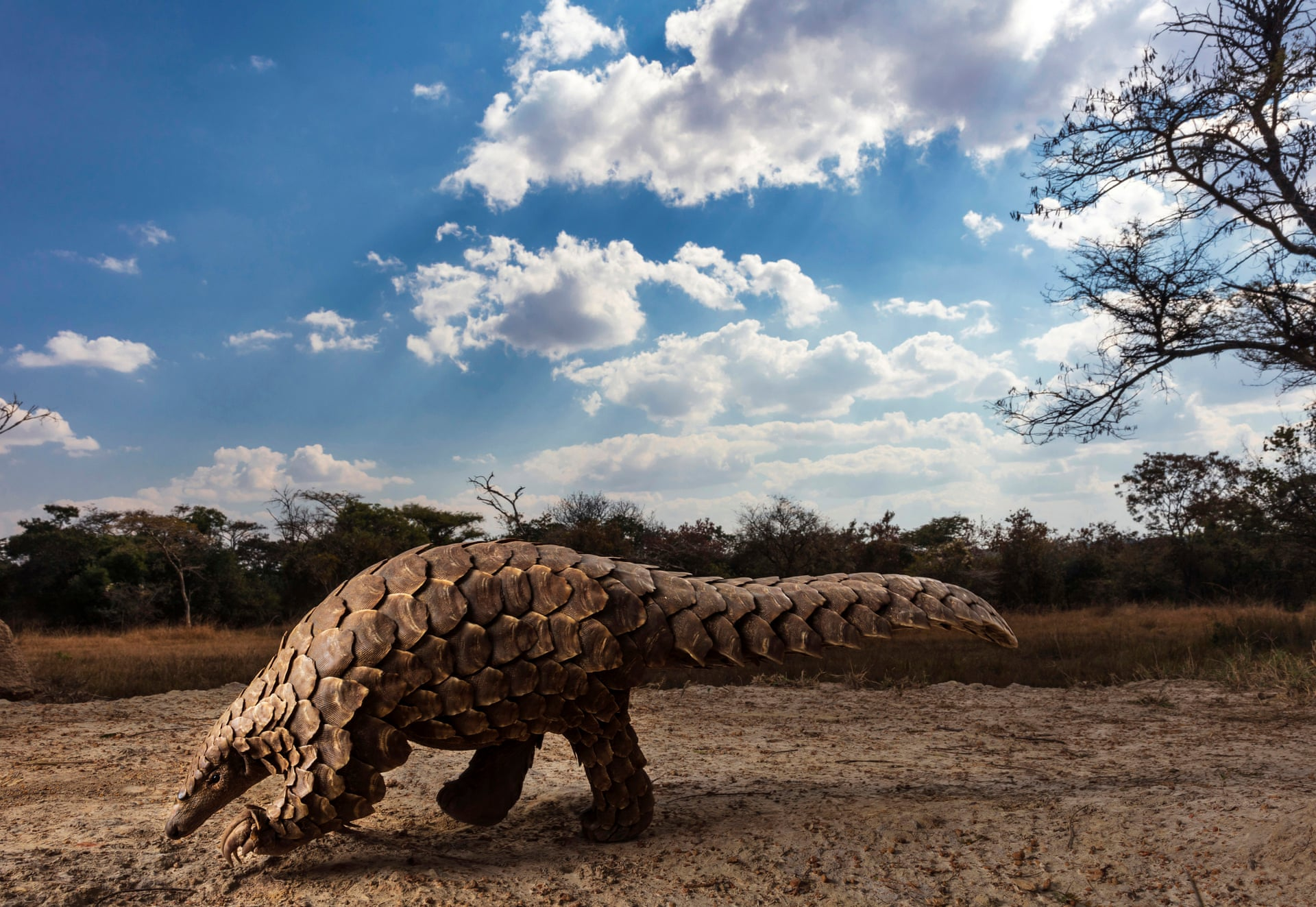 Победитель вкатегории «Мир природы идикие животные» (Natural world & wildelife) — Брент Стиртон / Brent Stirton (Южная Африка), цикл «Панголины вкризисе» / Pangolins in Crisis