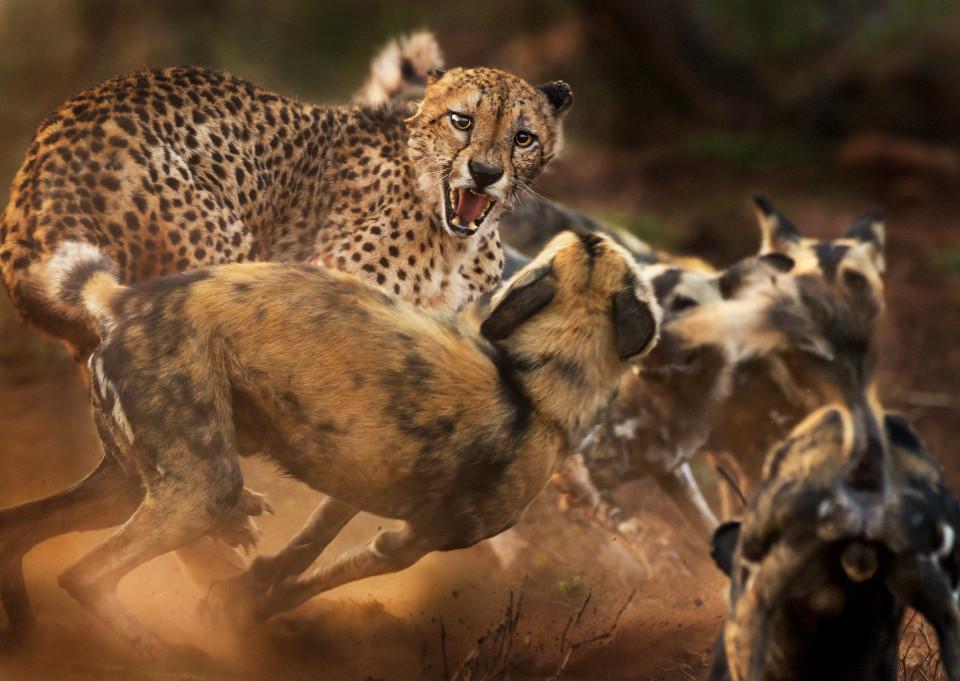 пожилой гепард оказался вокружении стаи африканских собак.