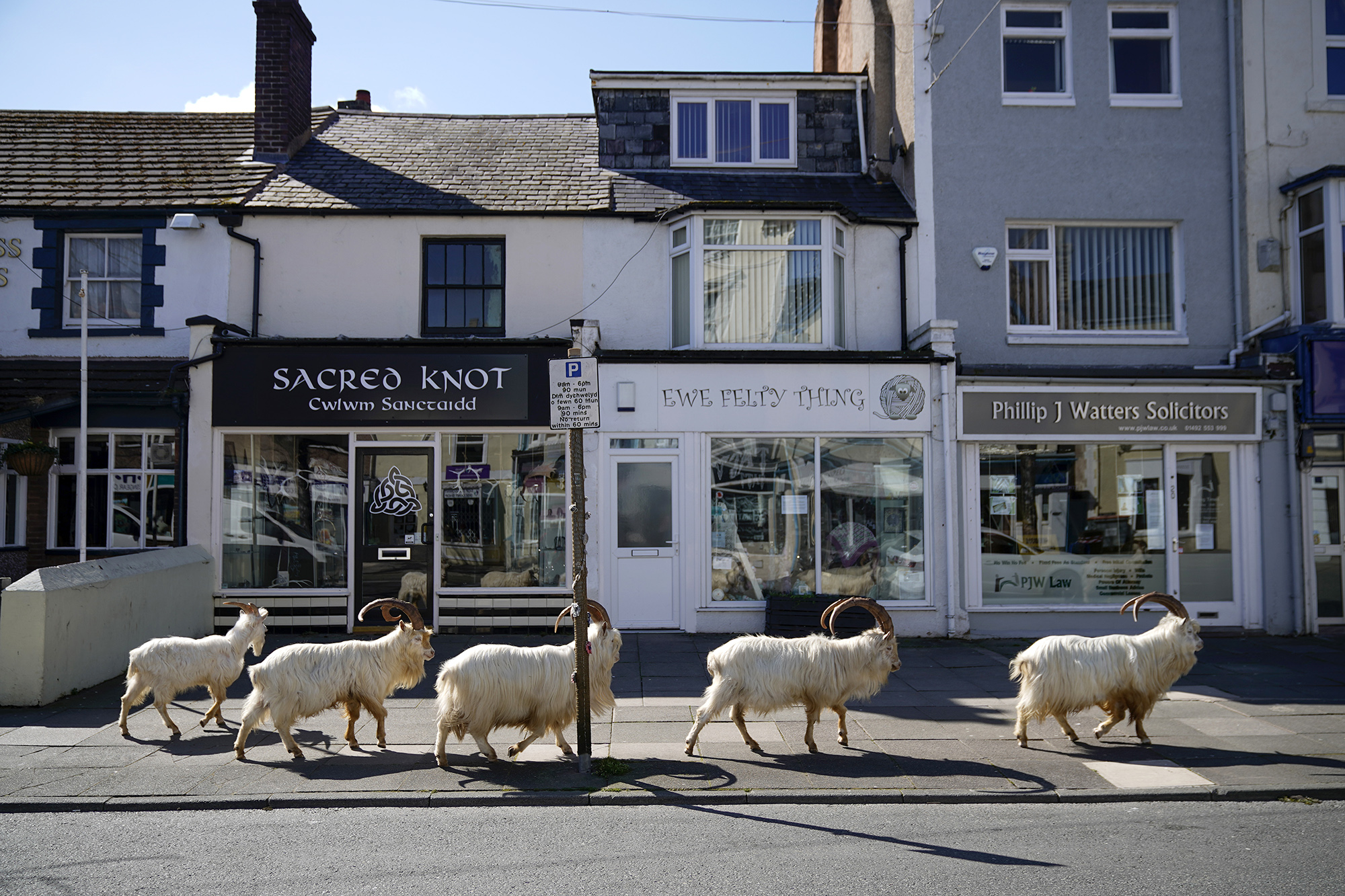 Горные козлы чувствуют себя хозяевами города Лландидно вУэльсе, Великобритания.