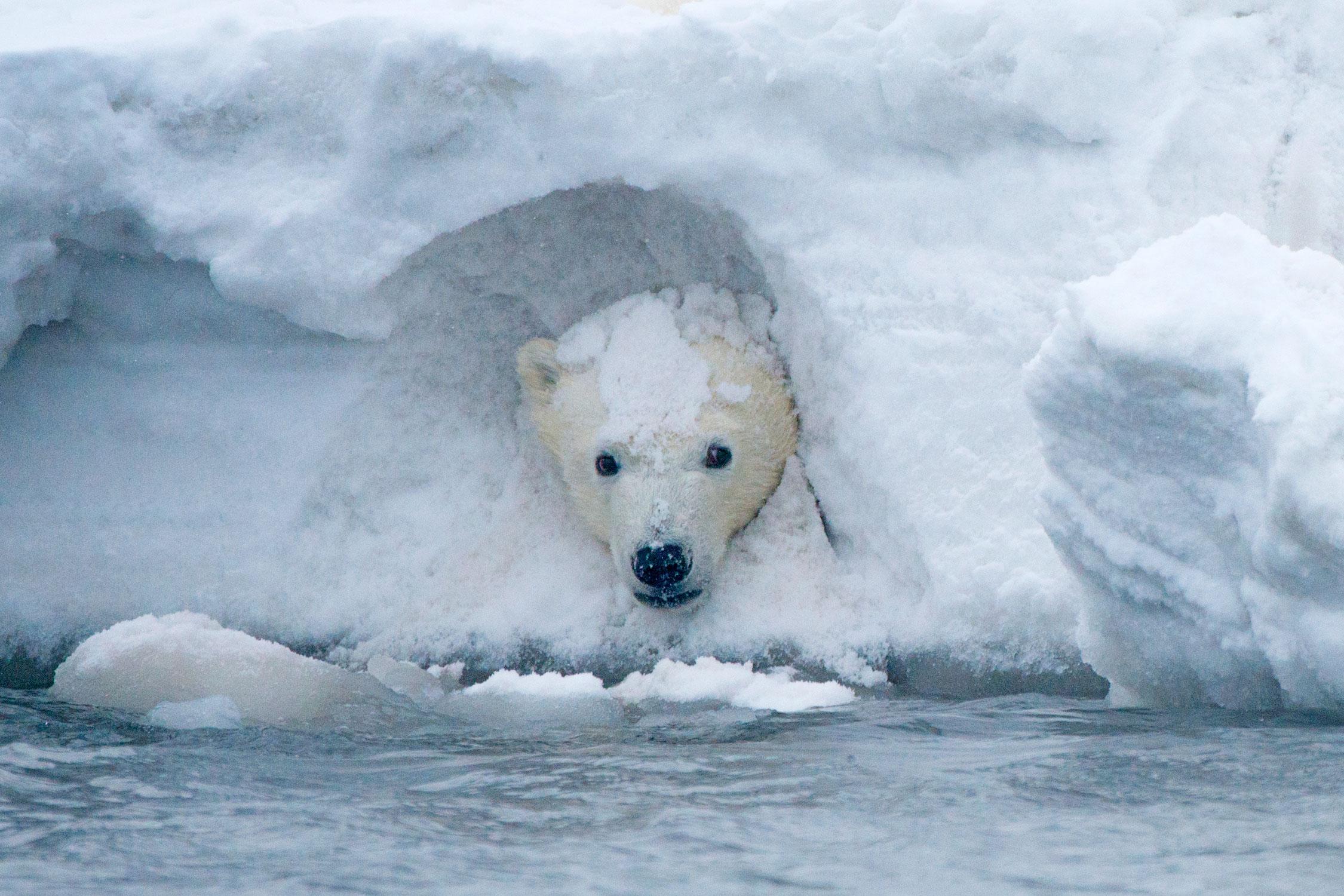 Национальный заповедник дикой природы Арктики вСеверном склоне, Аляска. Наснимке — детеныш белого медведя. Хищные звери, которые считали Полярный круг своим домом, рискуют лишиться своей среды обитания из-за глобального потепления