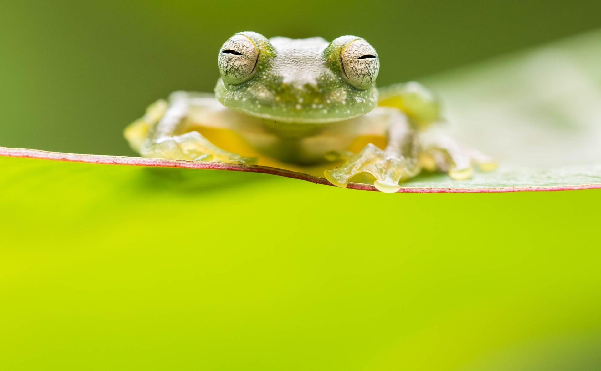 Эту крошечную стеклянную лягушку автор снимка увидел, когда изучал вКоста-Рике герпетофауну.