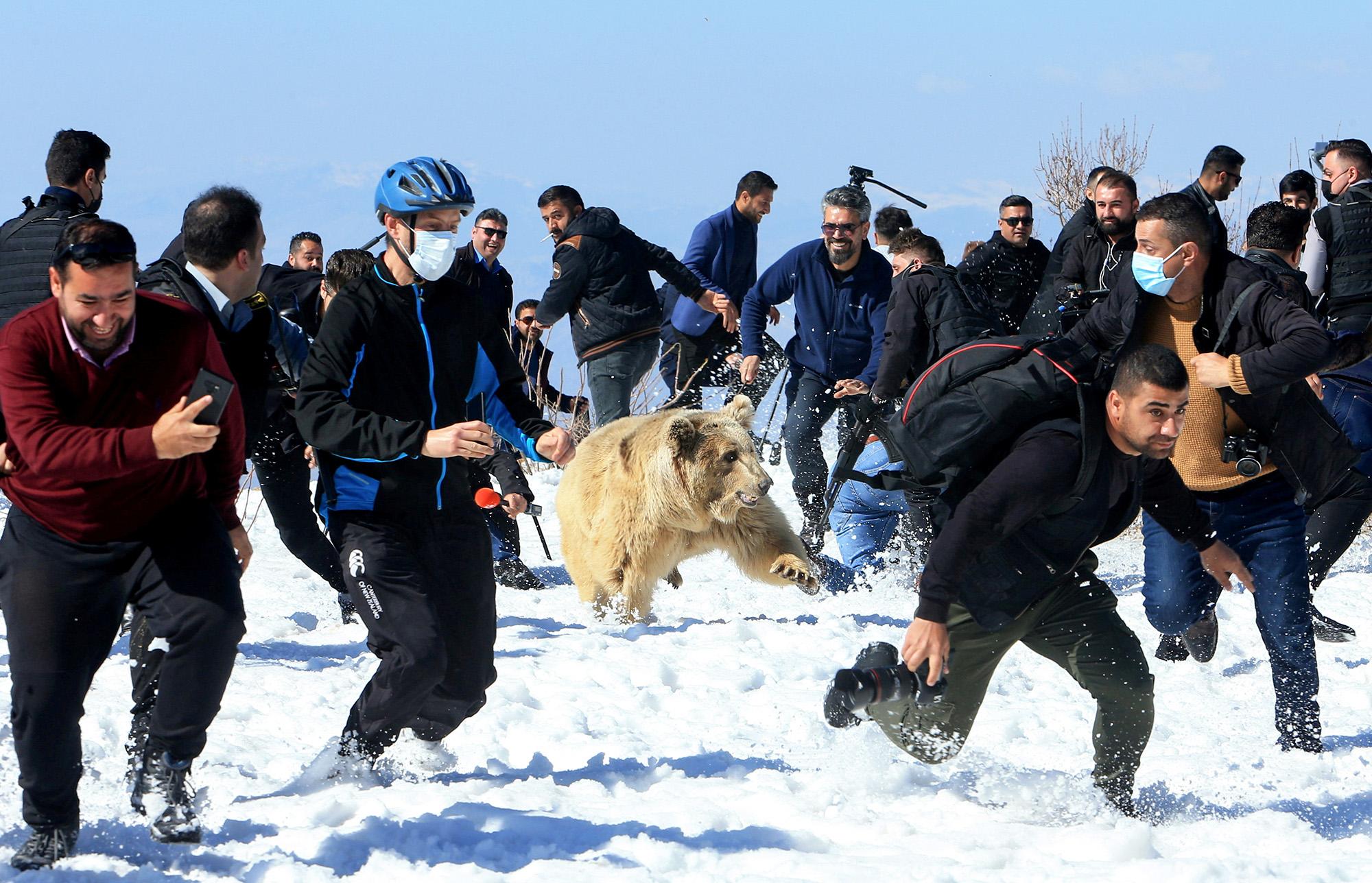 Курдские зоозащитниеи выпускают наволю спасенного  дикого медведя, Дахук, Ирак.