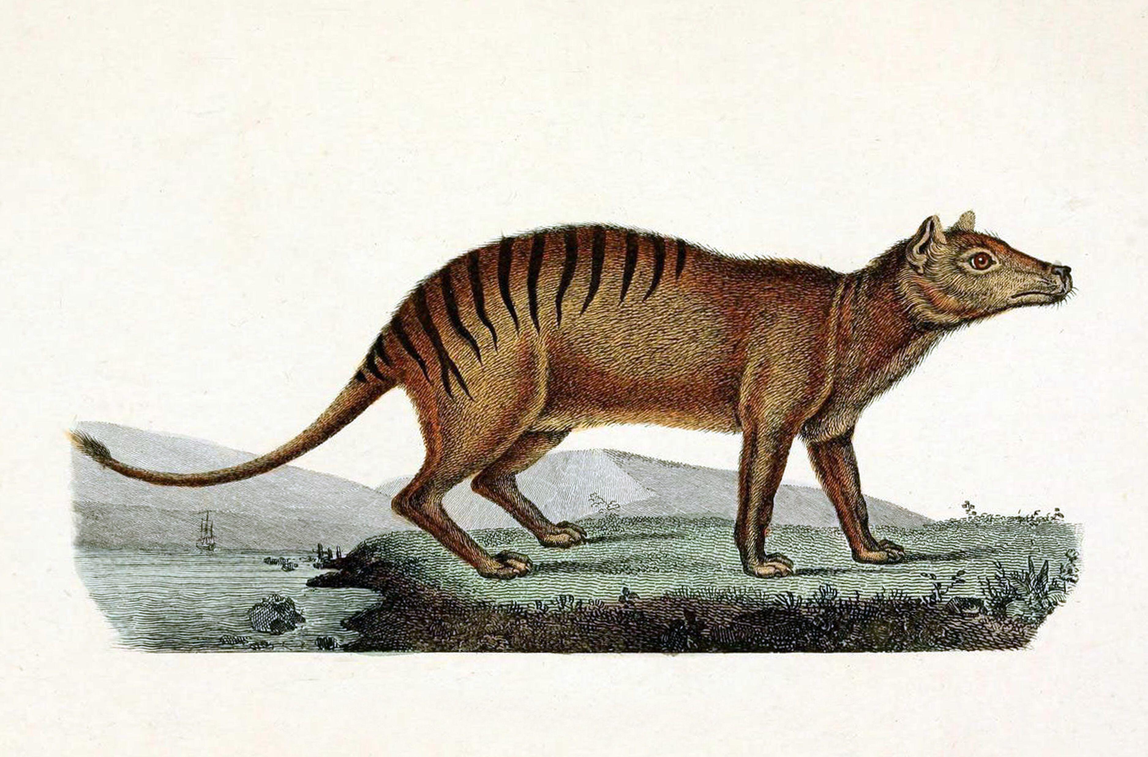 Тилацин (сумчатый волк)