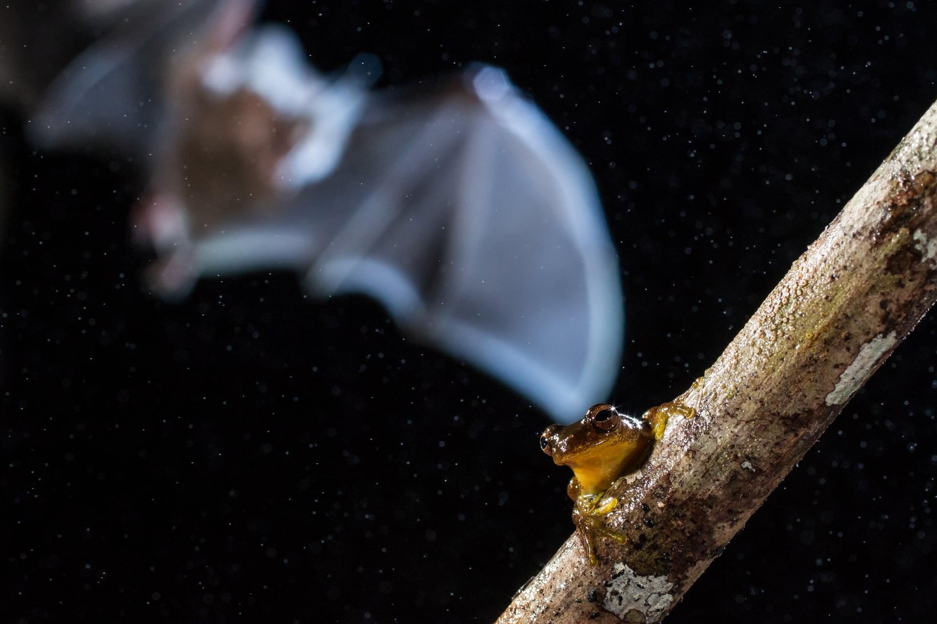 Размытый силуэт нафото — неотропическая летучая мышь сбахромой. Этот вид питается, восновном, лягушками, хотя вцелом их режим питания изучен неочень хорошо. Таких мышей легко определить попапиллообразным выступам наморде, а живут они влесах отМексики доБразилии. Фото сделано вМанаусе, Бразилия.