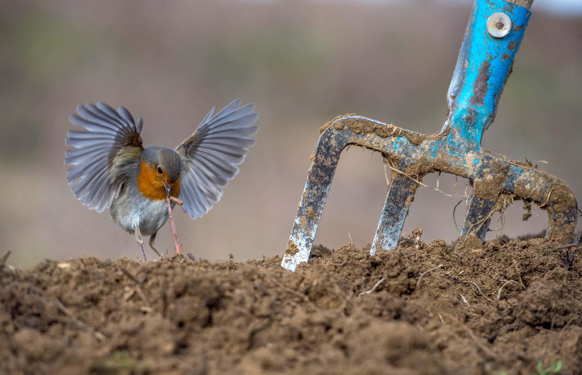 Категория «Садовые игородские птицы», первое место: зарянка, фотографи — Никос Букас, Греция