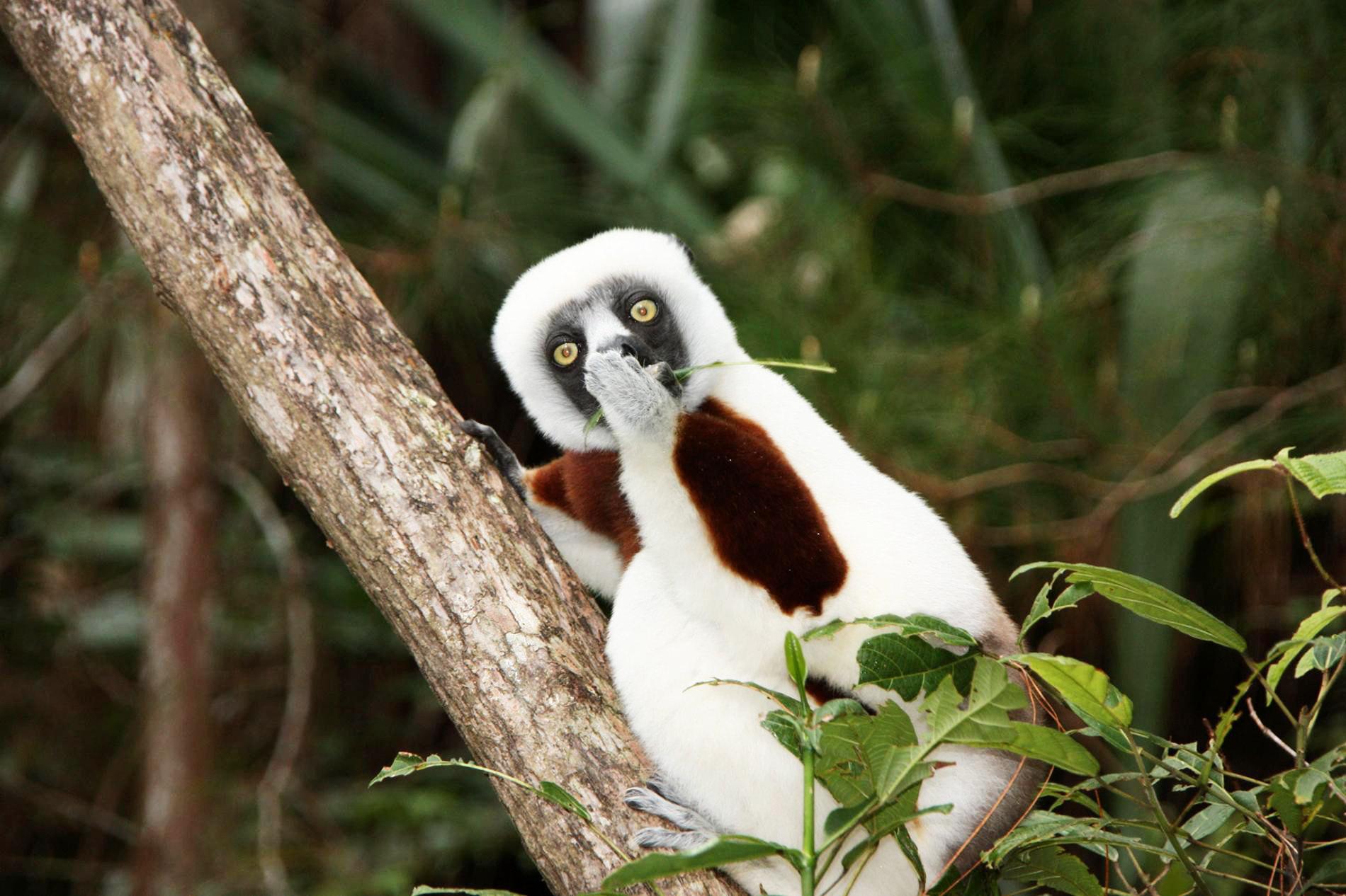 У сифаки вМадагаскаре есть секрет.