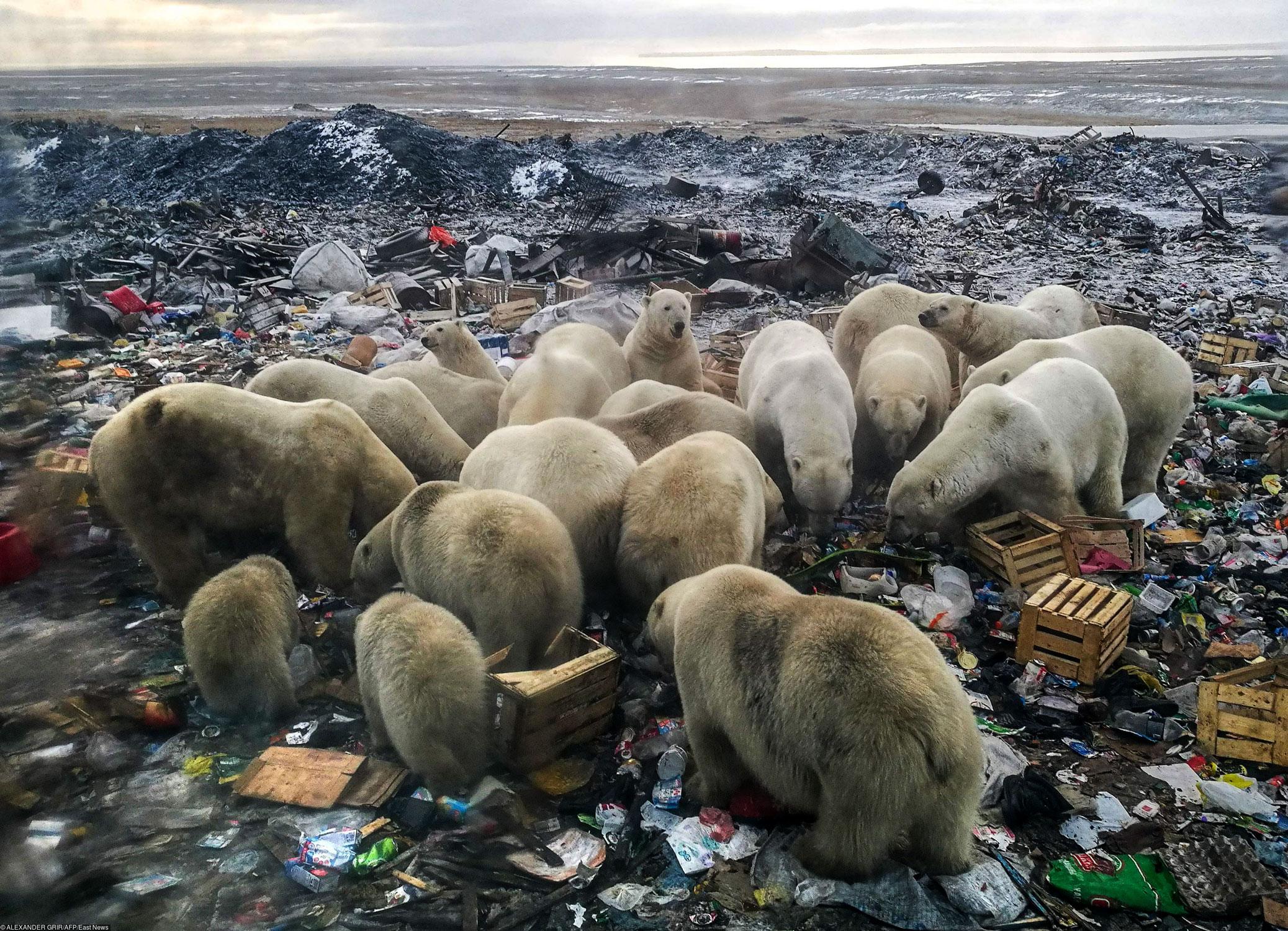 Снимок, сделанный 31 октября 2018 года, показывает, что белые медведи ищут еду намусорной свалке недалеко отдеревни Белушья Губа, наотдаленном российском северном архипелаге Новая Земля, вжестко контролируемом военном районе. Вфеврале местные жители объявили чрезвычайное положение из-за нашествия белых медведей. Ученые говорят, что столкновений сполярными медведями вбудущем станет еще больше из-за таяния арктических льдов ироста присутствия людей вэтом районе. «Вторжение» агрессивных белых медведей внаселенные районы арктической России происходило втечение примерно десяти дней вфеврале 2019 года. Глобальное потепление заставляет их проводить больше времени наземле, где они борются заеду
