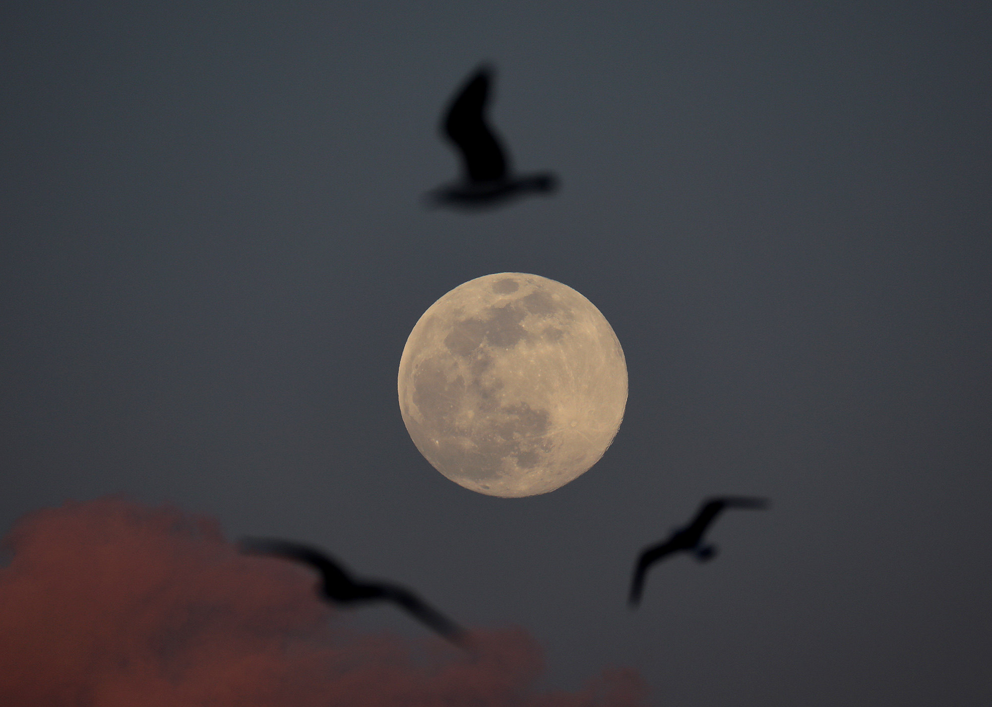 Птицы парят нафоне Суперлуния. Стамбул, Турция