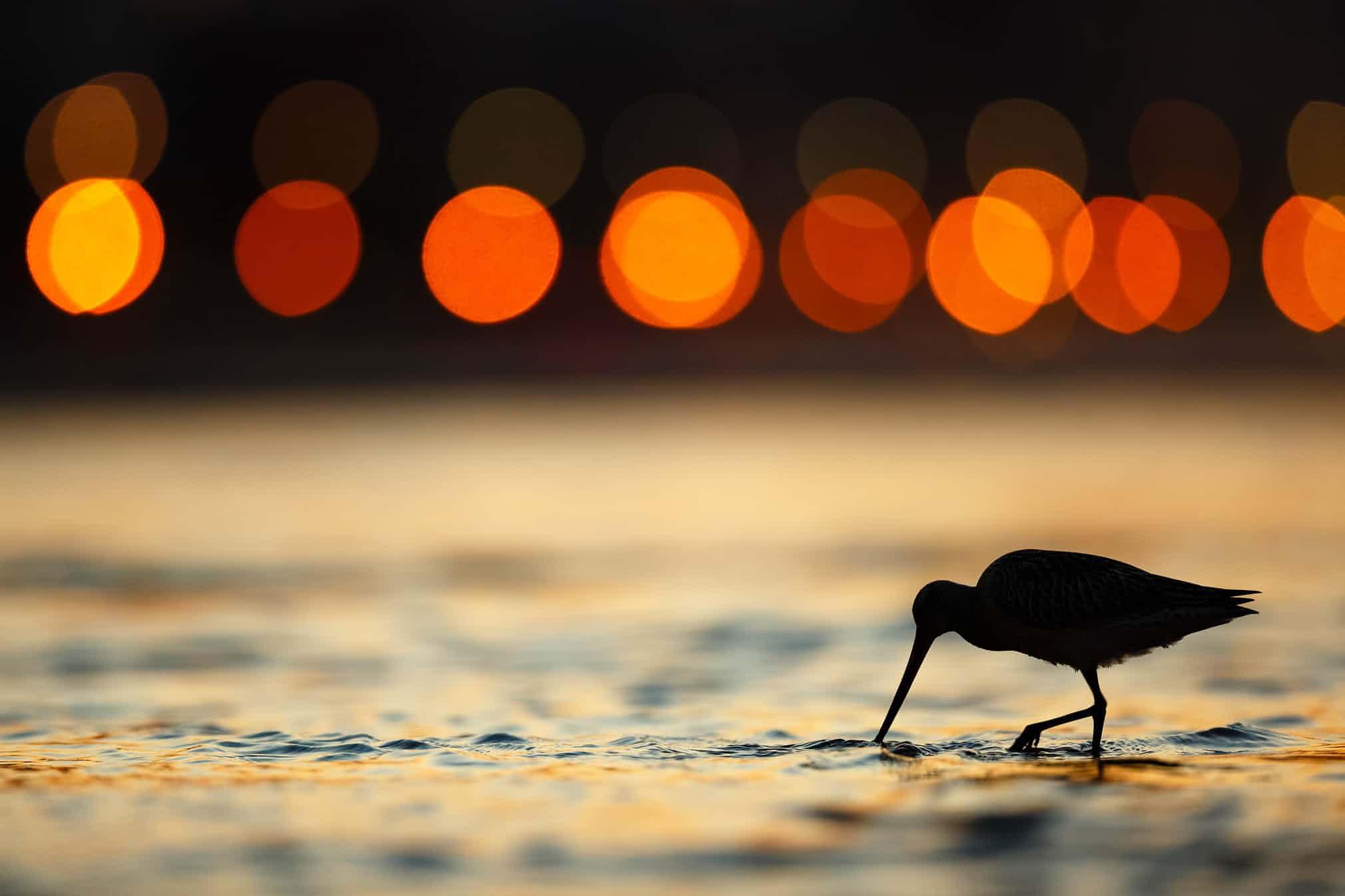 Категория «Садовые игородские птицы», второе место:малый веретенник, фотограф — Марио Суарес Поррас, Испания