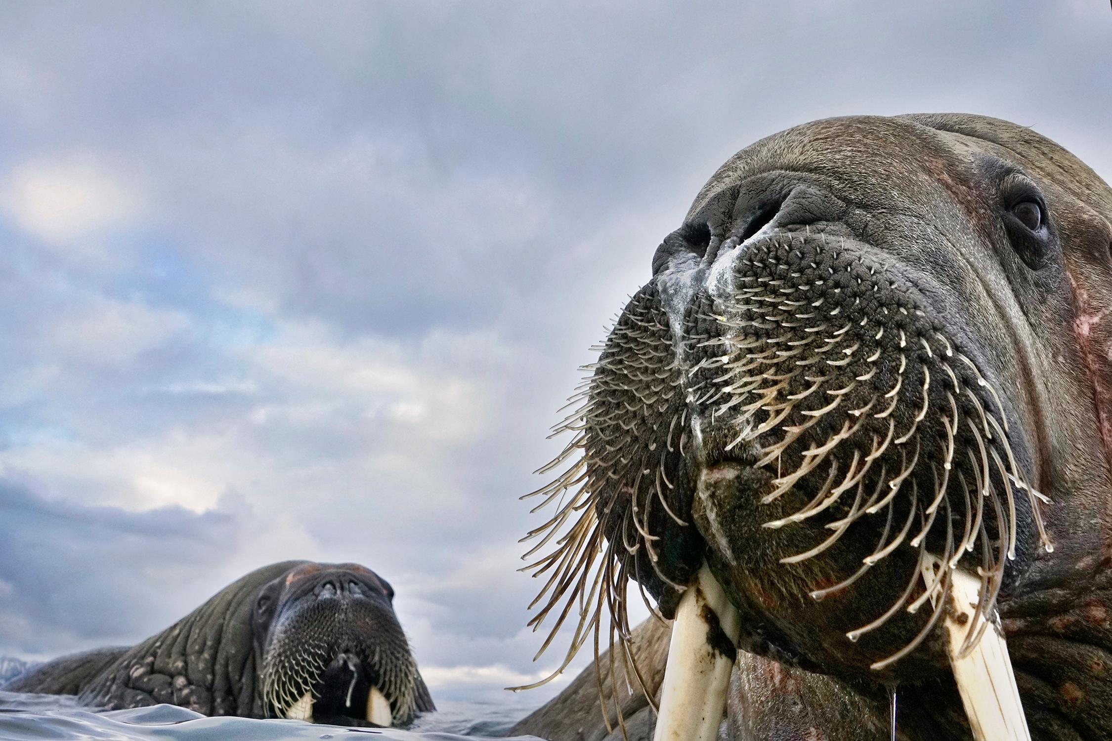 Моржиха иее детеныш, запечатленные неподалеку отнорвежского архипелага Свальбард.