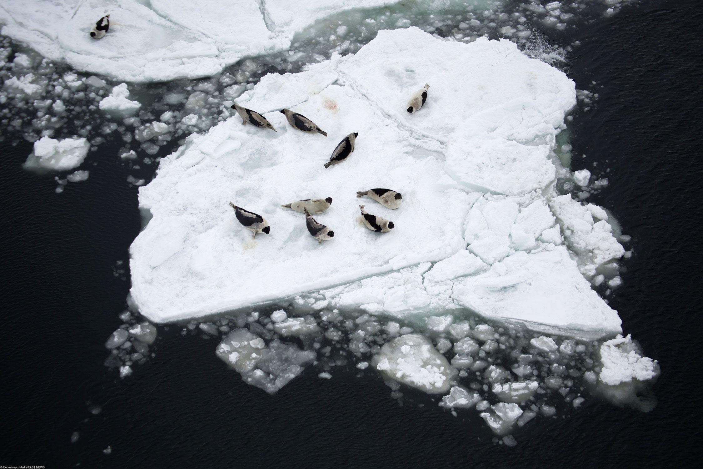 Ежегодная канадская «коммерческая охота натюленей», которая восновном проводится вмарте иапреле, приводит кгибели тысяч животных. Квоты наохоту натюленей возросли впоследние годы, несмотря нато, что рынок их шкурок почти рухнул после запрета напушнину такого рода. Министр рыболовства Канады Гейл Ши установил квоту наохоту натюленей: 400 000 гренландских тюленей, 60 000 серых тюленей и8200 морских котиков — вобщей сложности более 468 000 животных