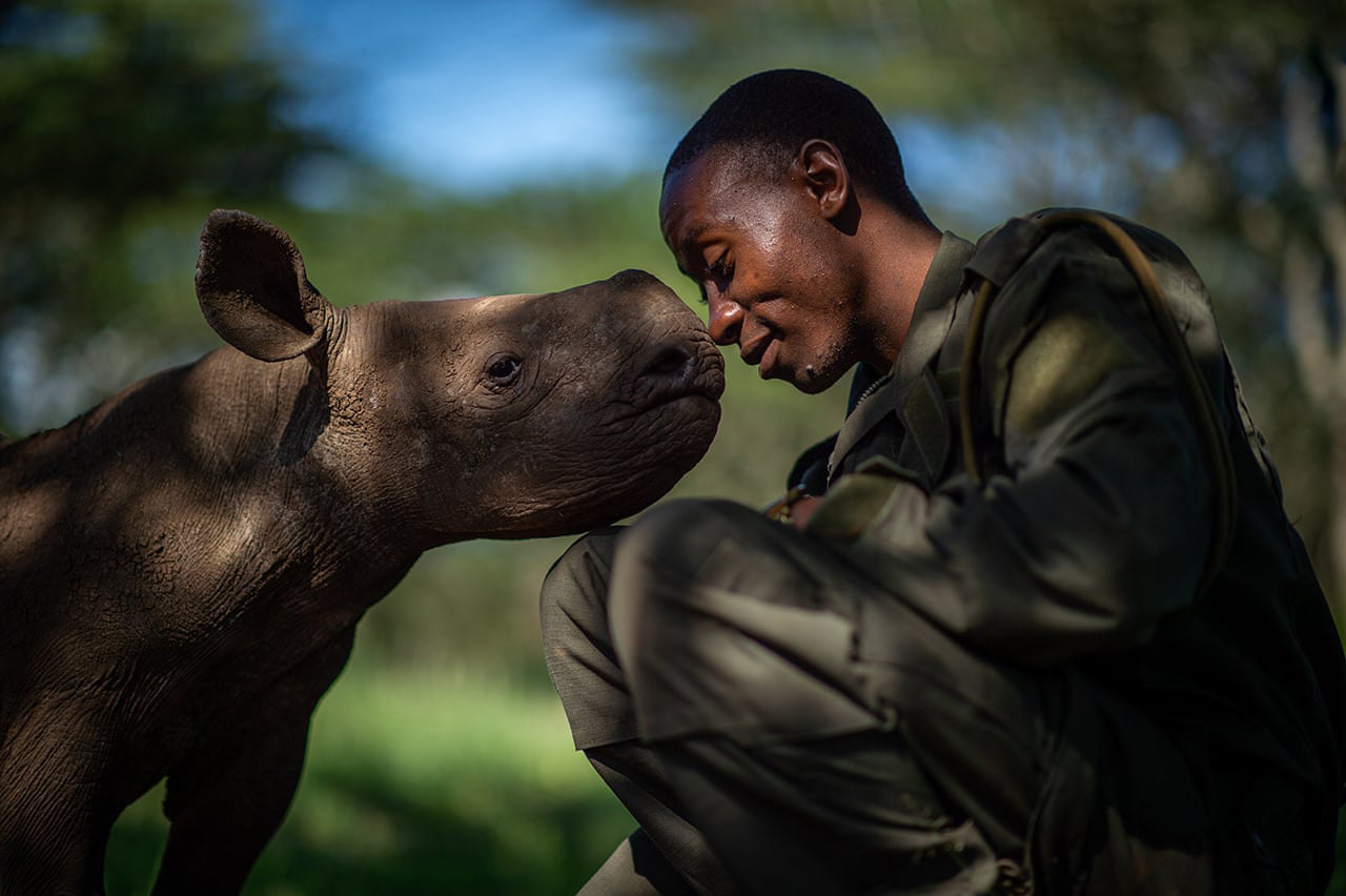 The Surrogate Mother by Martin Buzora, CanadaElias Mugambi is a ranger at Lewa Wildlife Conservancy in northern Kenya. He often spends weeks away from his family caring for orphaned black rhinos, such as Kitui (pictured). The young rhinos are in the sanctuary as a result of poaching or because their mothers are blind and cannot care for them safely in the wildPhotograph: Martin Buzora/2019 Wildlife Photographer of the Year/NHM