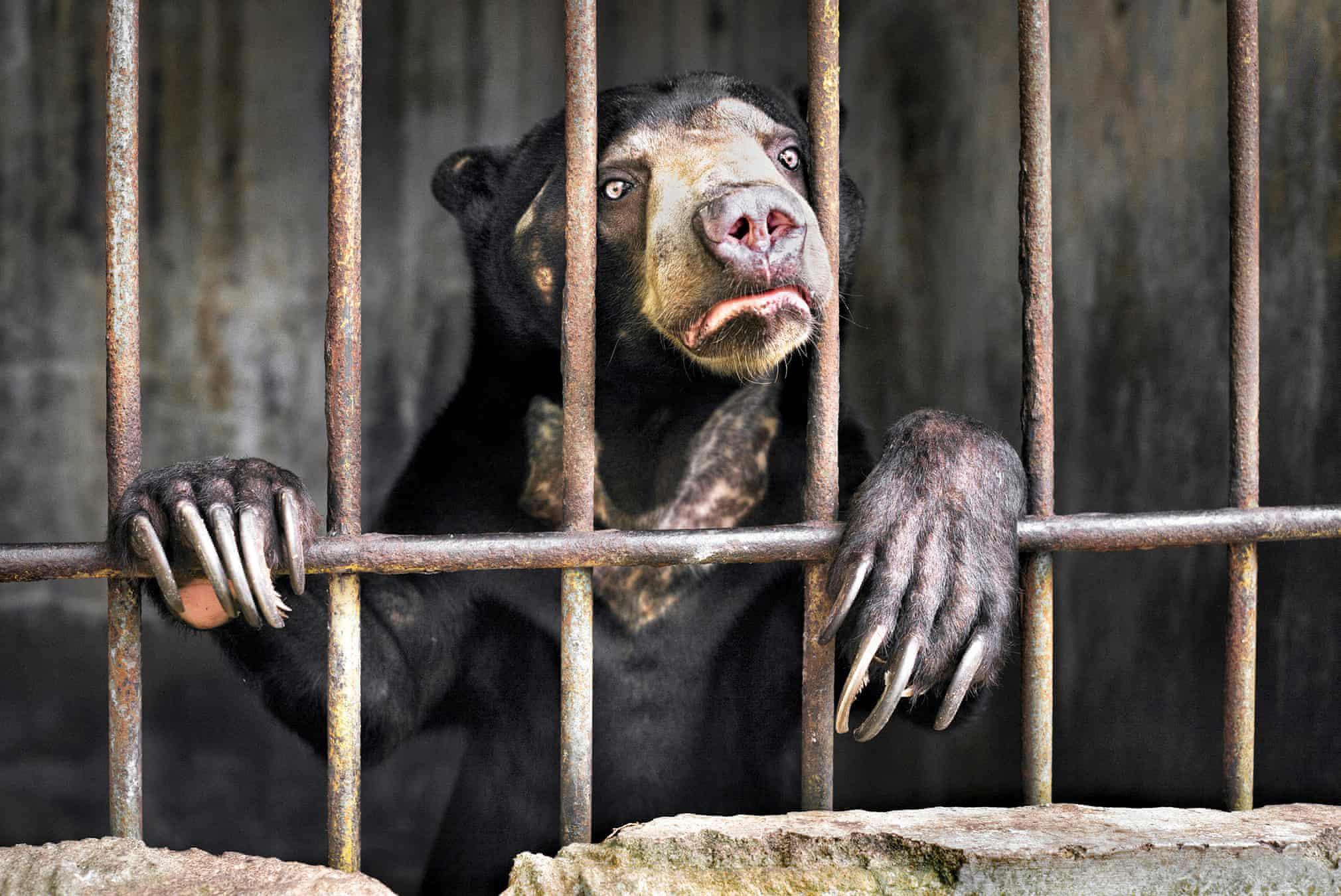Малайский (или солнечный) медведь взоопарке наСуматре (Индонезия), где он содержится вужасных условиях. Солнечные медведи — самый мелкий представитель семейства медведей, они находятся подугрозой исчезновения из-за браконьерства иобезлесения (животные восновном обитают внизинных лесах Юго-Восточной Азии).