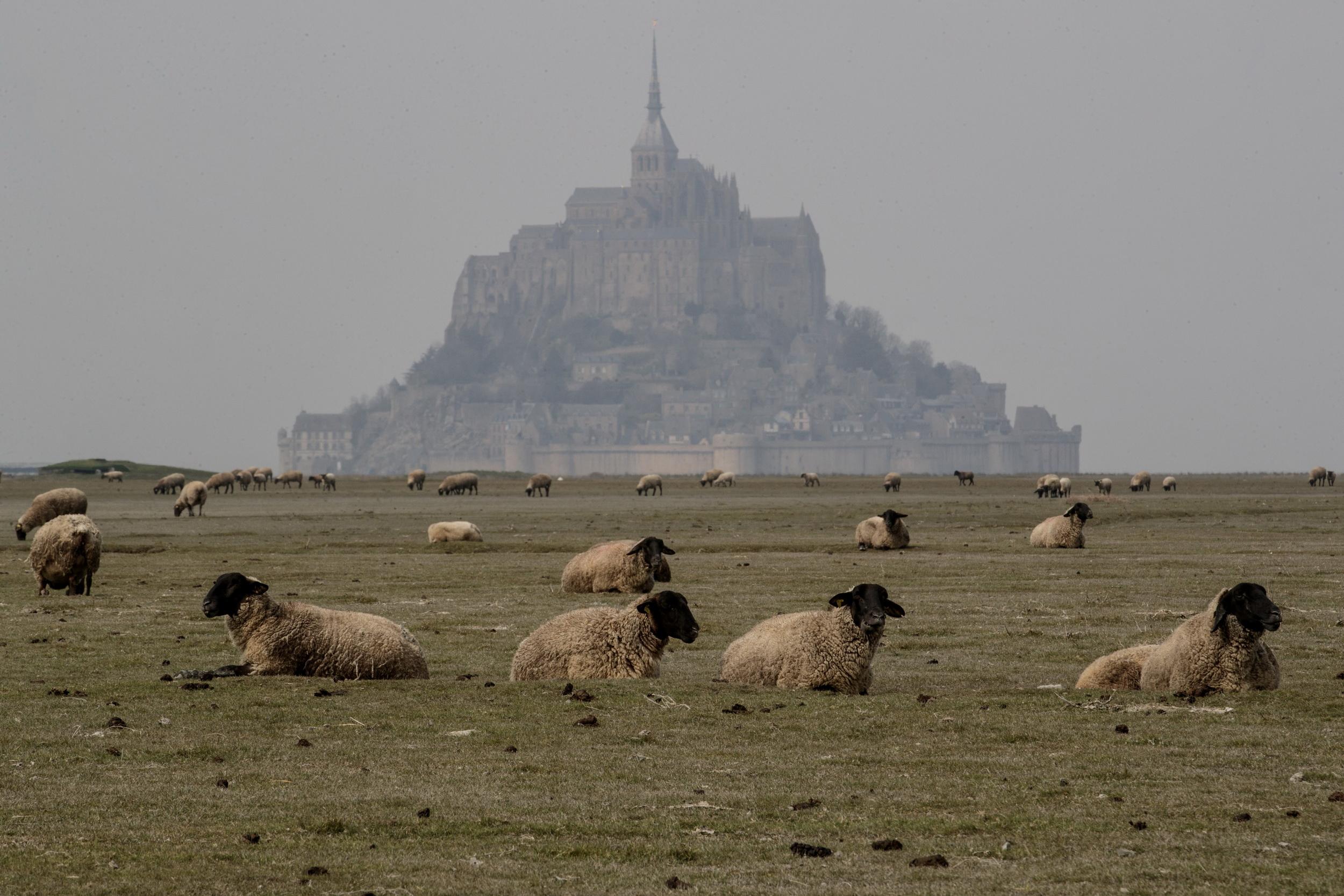Овцы иягнята напастбище неподалеку отМон-Сен-Мишель насеверо-западе Франции. 28 марта 2020