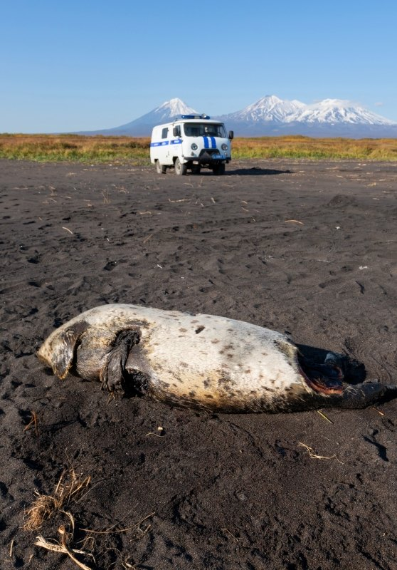 Погибшая ларга наХалактырском пляже наКамчатке.