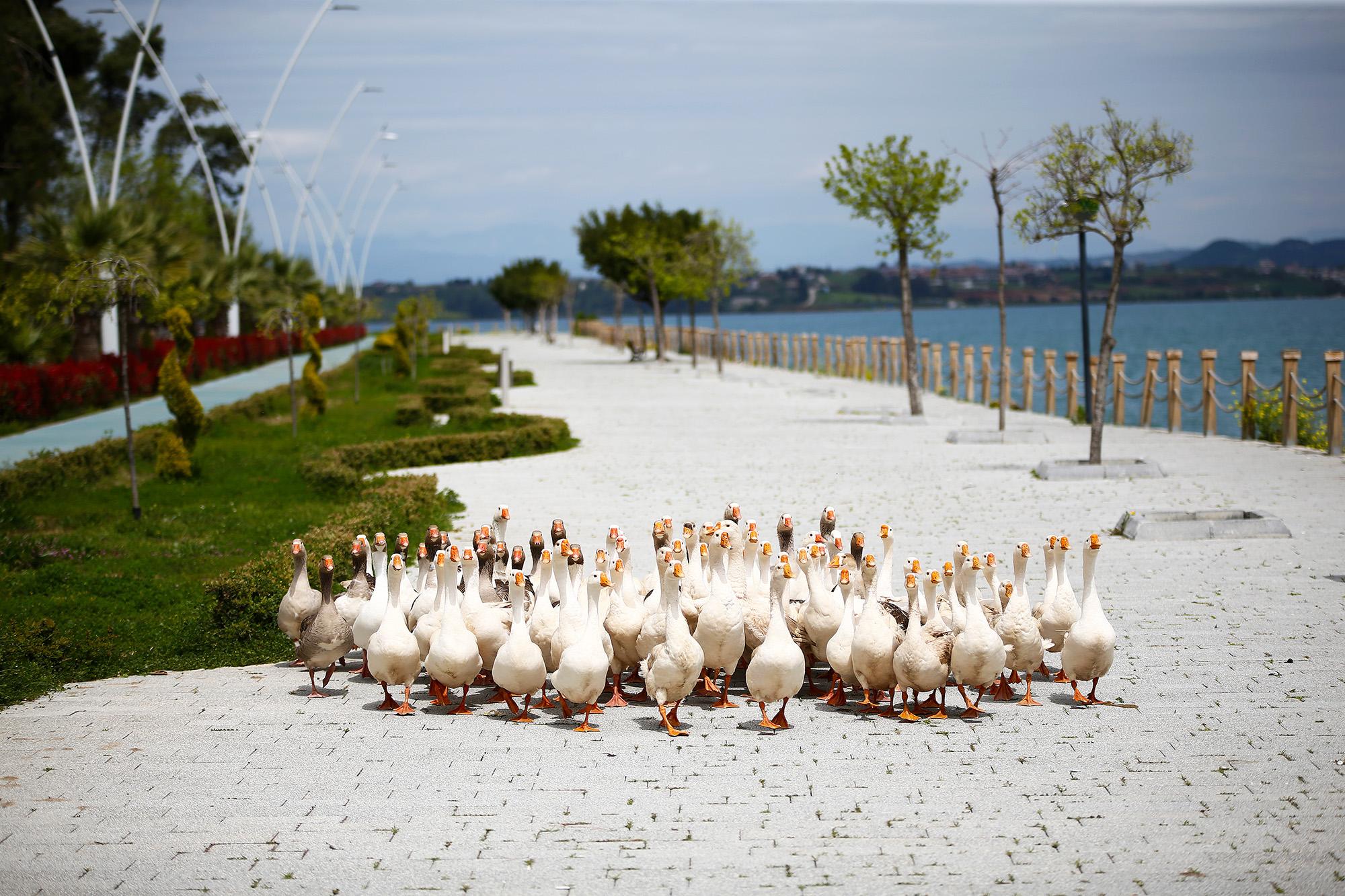 Утки прогуливаются попустой набережной вгороде Адана, Турция