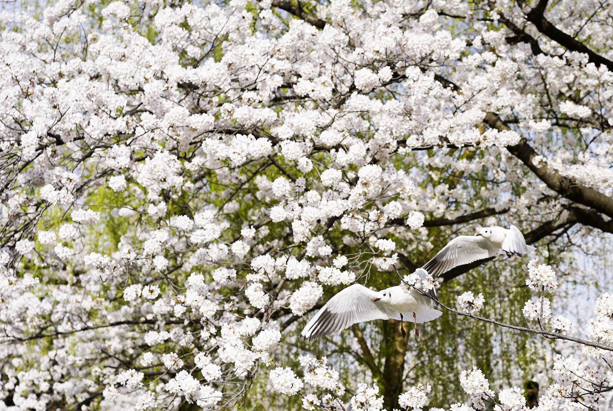Чайки летают подветвями вишневых деревьев упруда Синобазу впарке Уэно вТокио