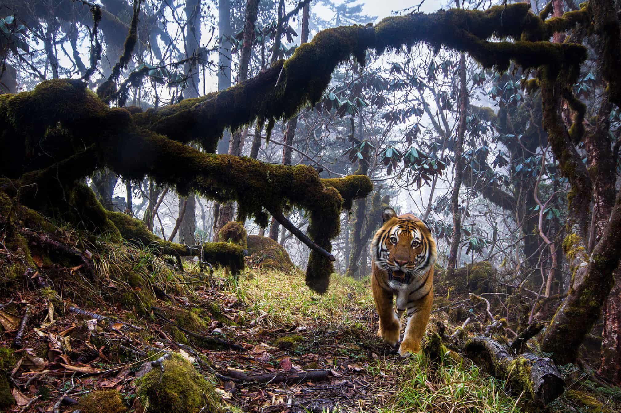 Бенгальский тигр (подвид находится подугрозой исчезновения) вгималайском лесу вБутане.