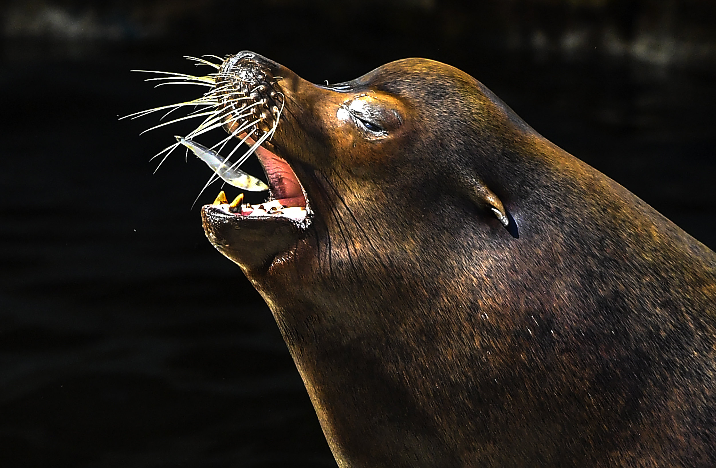 A sea lion catches a fish during avery hot day in the zoo in Skopje, Republic of North Macedonia on 30 July 2020. Due to a heatwave with temperatures around 40 degrees Celsius, the workers from Skopje's zoo, prepared and served special frozen food and fruits for the animals. EPA-EFE/GEORGI LICOVSKI