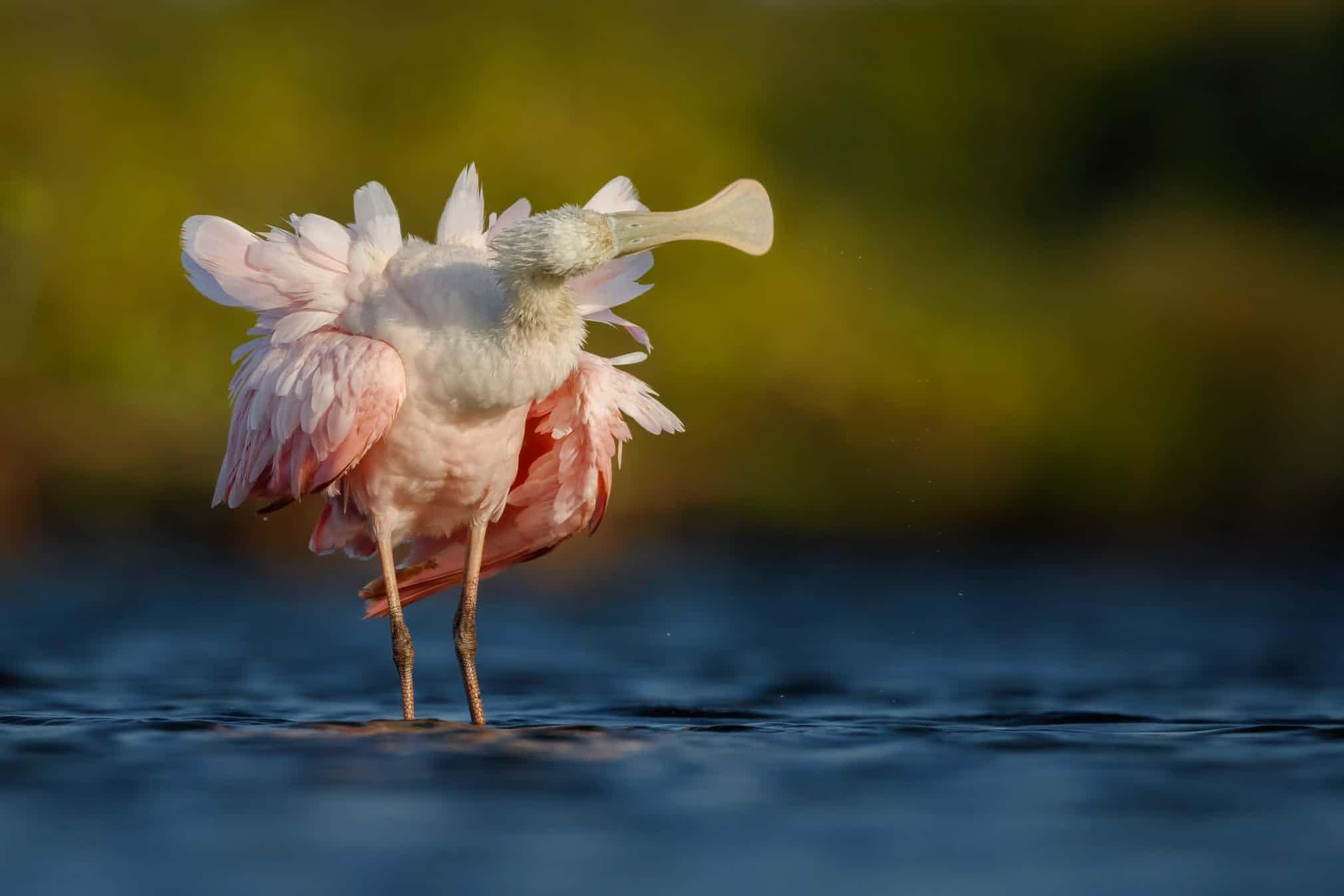 Розовая колпица вобъективе чешского фотографа Петра Бамбузека, победившая вкатегории