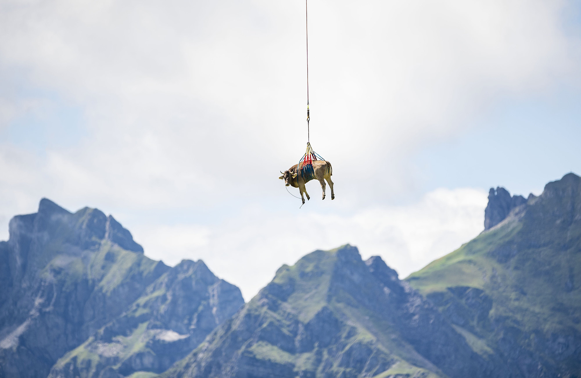 A slightly injured cow is flown by helicopter from the Klausen Pass due to its unfitness for the cattle drive (Almabtrieb), on the occasion of the