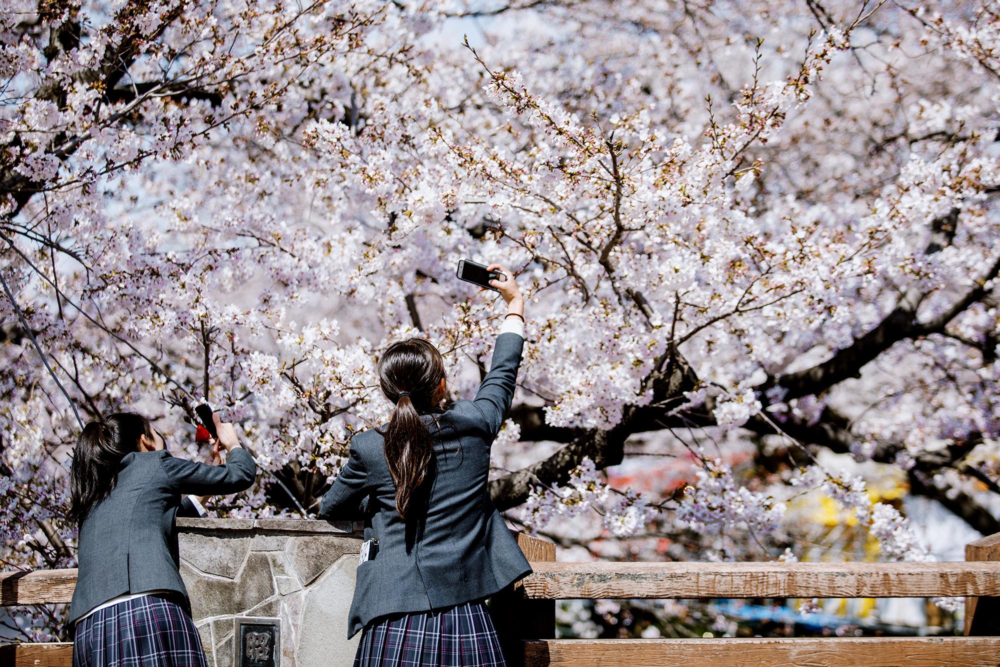 Студенты фотографируют деревья во время Фестиваля цветения вишни. Центральное зрелище праздника — ровная линия из1400 цветущих деревьев наобоих берегах реки Годзё вгороде Ивакура