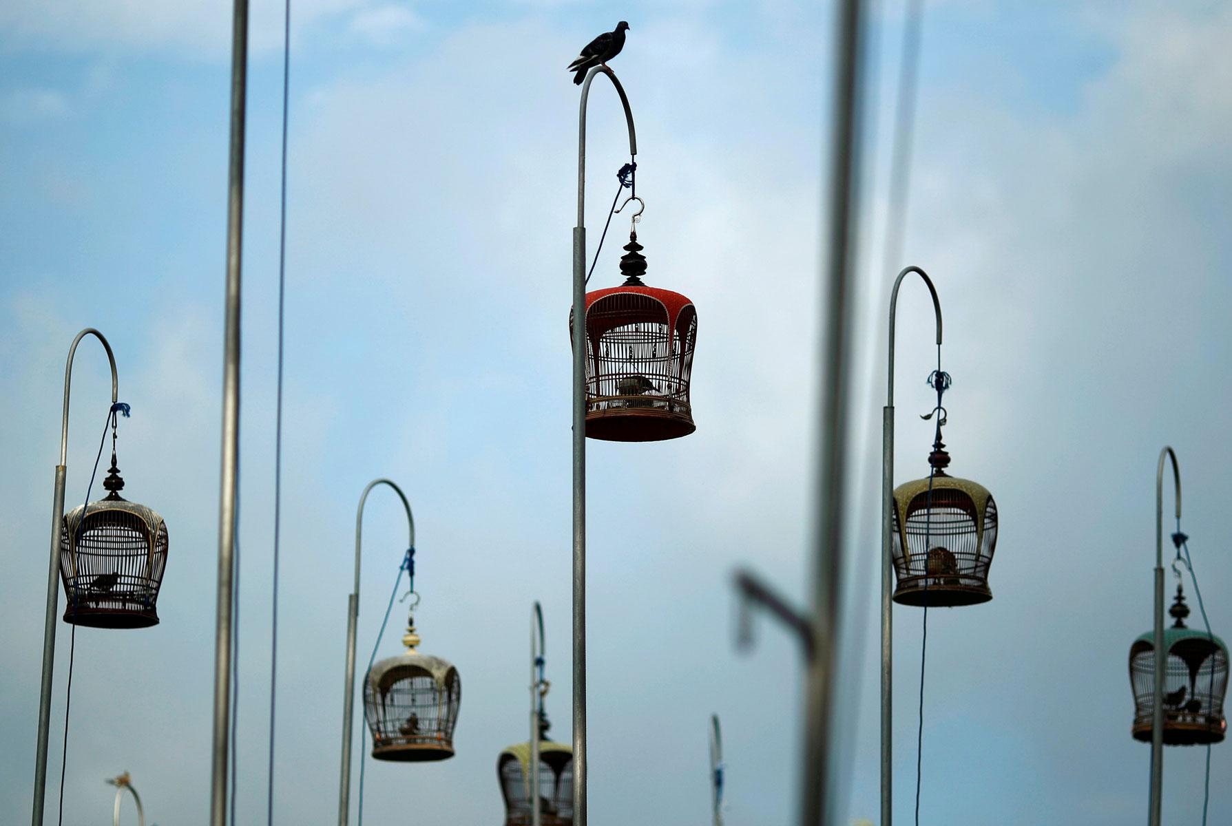В Сингапуре несколько раз вгод проходят птичьи перформансы — полосатые горлицы вклетках соревнуются впении. Наэтом снимке можно увидеть неожиданного гостя — голубя