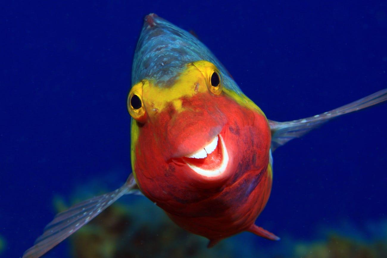 «Улыбочку»: рыба-попугай, сфотографированная близ Канарских островов