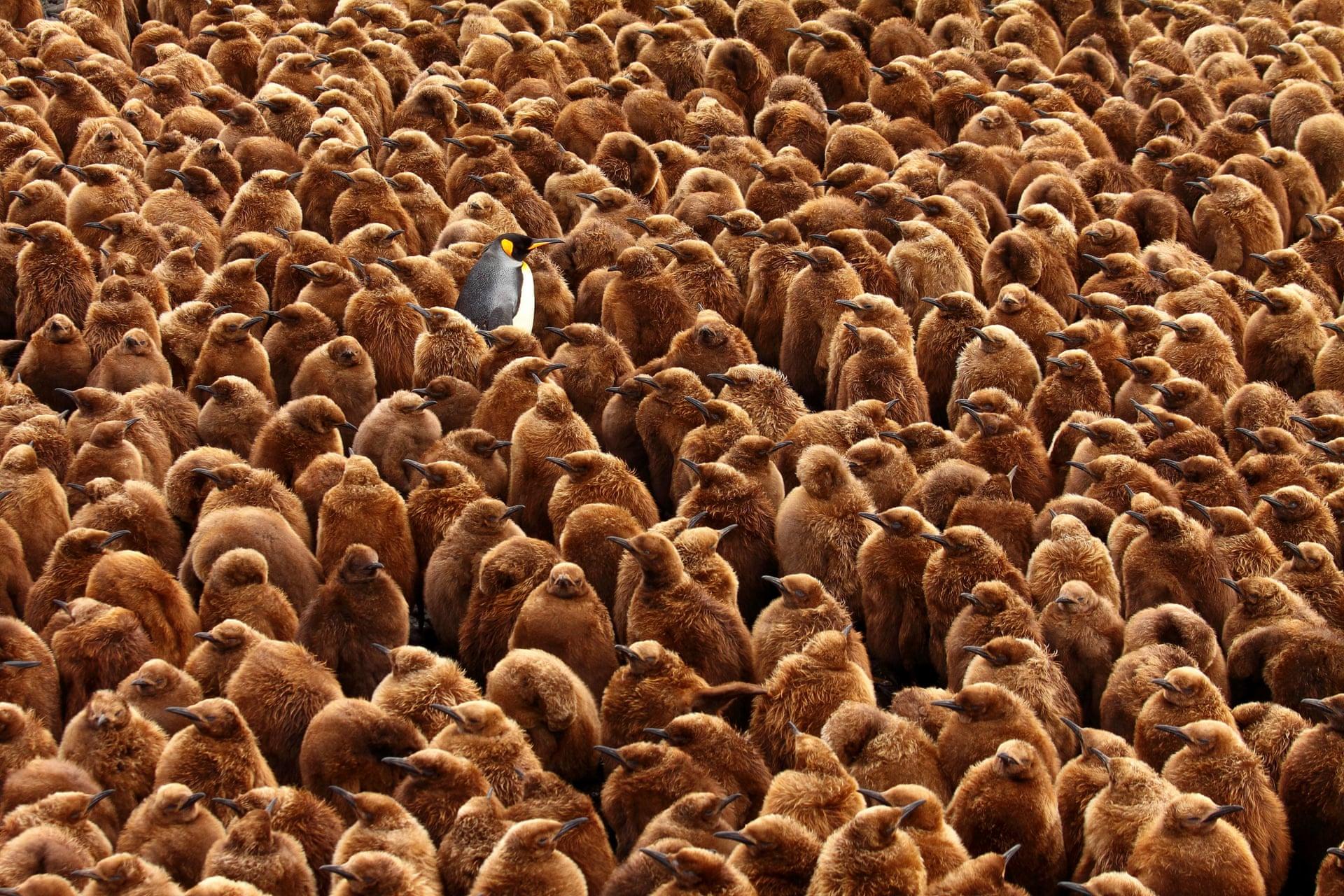 Фото сделано наострове Марион. Наснимке взрослый королевский пингвин запечатлен вокружении птенцов. Виды, которые обитают наостровах Субантакртики, страдают отсмещения океанических фронтов, где они добывают пропитание — это происходит из-за глобального потепления исвязанных сним изменений климата.