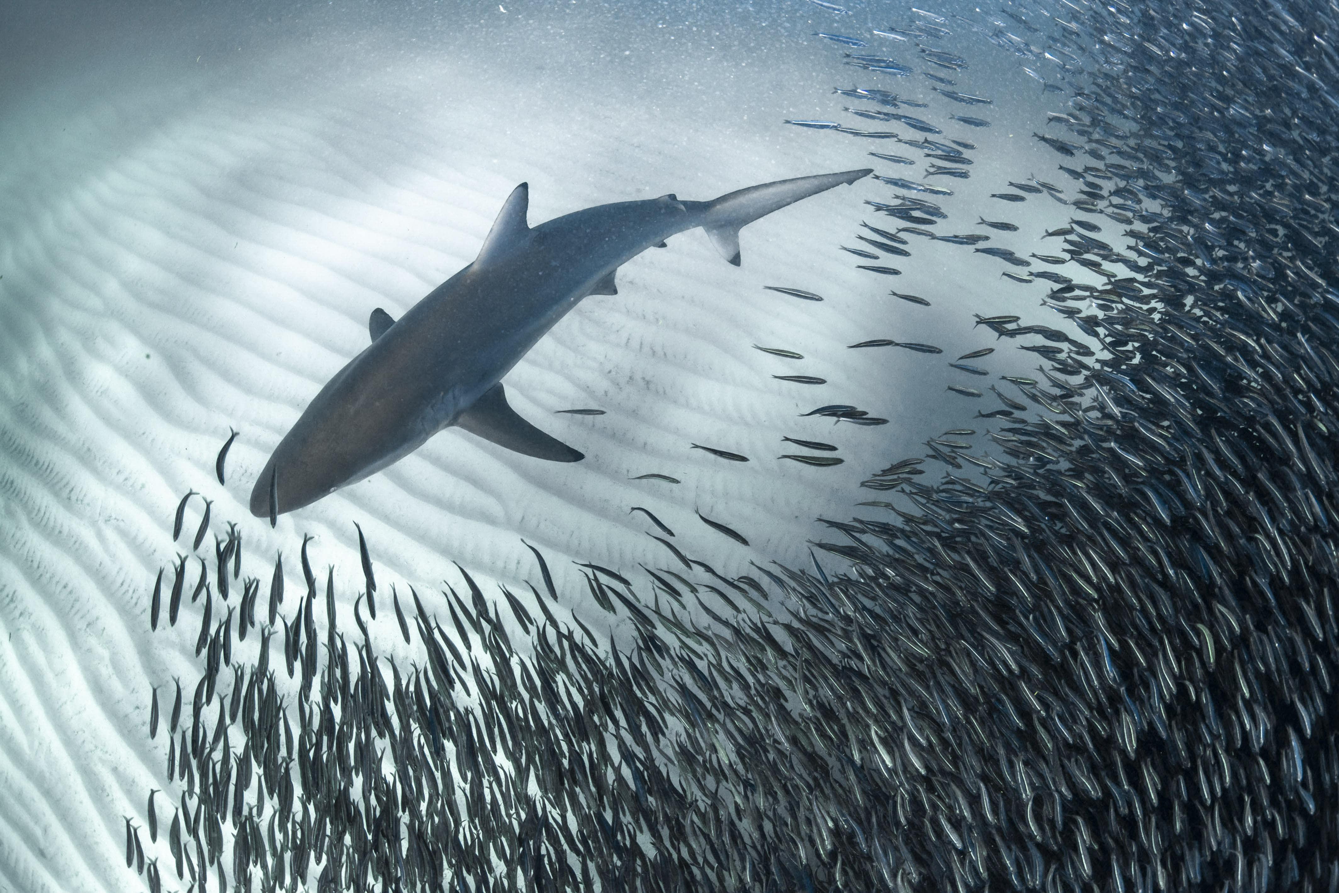 100-метровая стая рыб отступила, чтобы пропустить акулу. 28-летний Алекс Кидд, подводный фотограф изКорал-Бэй, Западная Австралия, сделал этот кадр нарифе Нингалу напобережье Западной Австралии вмае 2019 года.