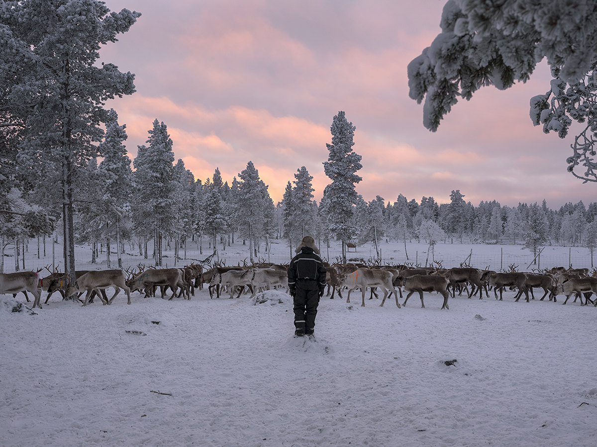 The reindeer herd of the Sami herder Egil Kalliainen, Norway