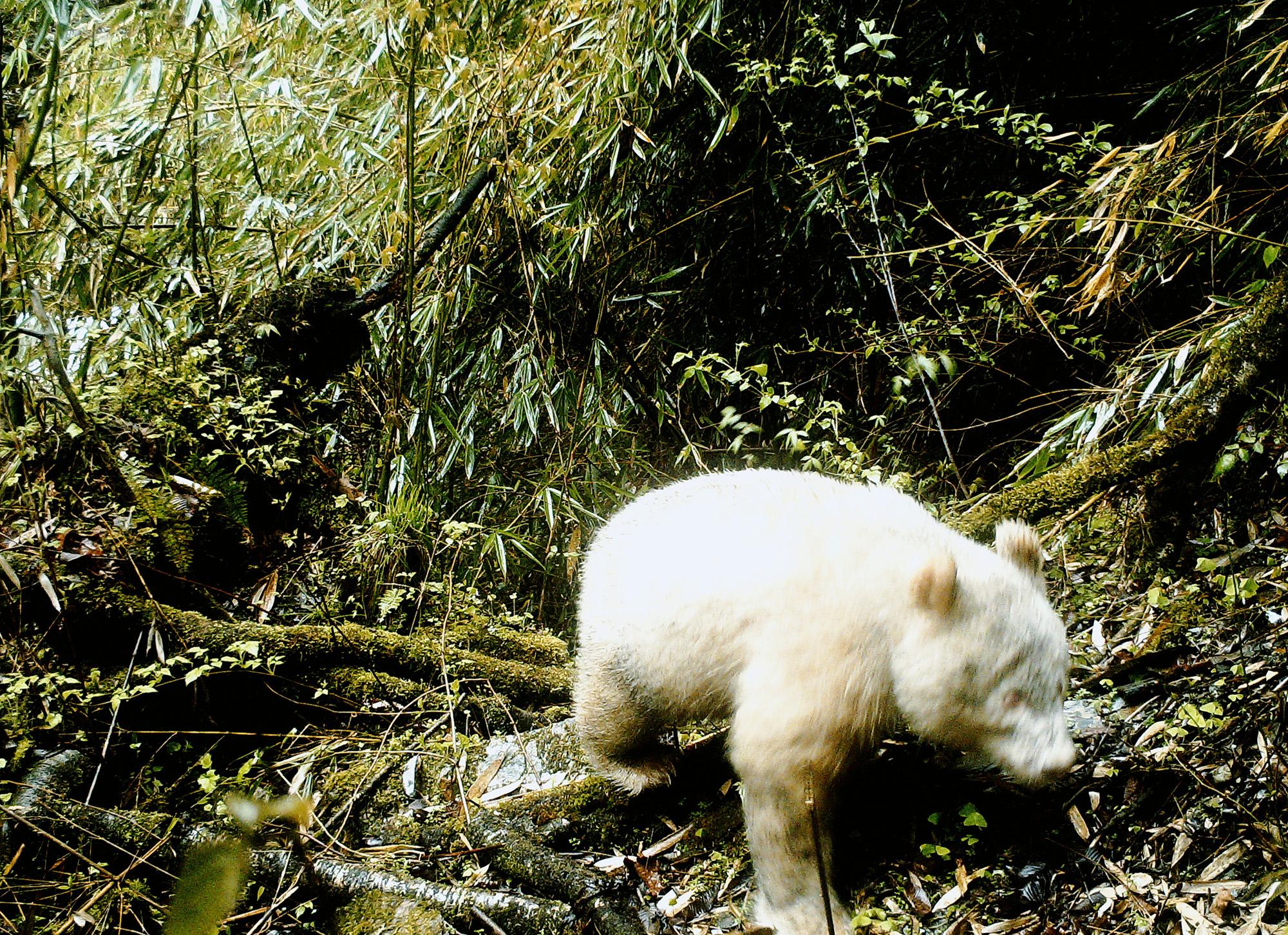 Фото синфракрасной камеры, накотором впервые вистории удалось запечатлеть гигантскую белую панду, замеченную вНациональном природном заповеднике Волонг впровинции Сычуань, Китай, 20 апреля 2019 года (снимок опубликован 27 мая 2019 года)