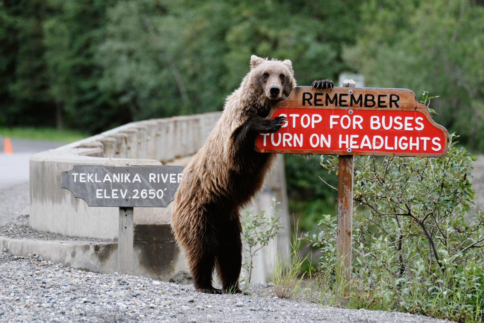 Медведь гризли вАляске приглядывает запутешествующими.