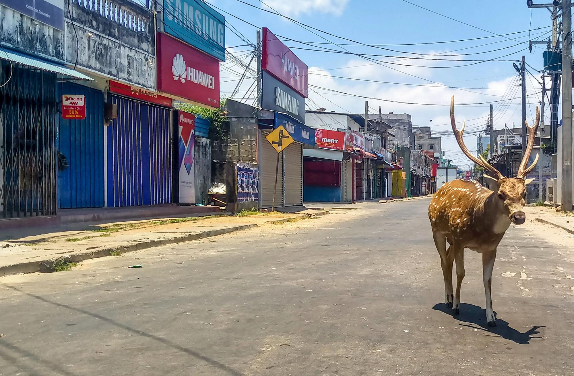 Дикий олень вТрикомали, Шри-Ланка
