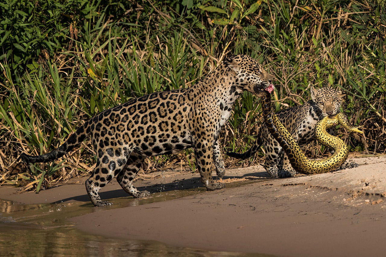 Matching Outfits by Michel Zoghzoghi, LebanonZoghzoghi was in the Pantanal, Brazil, photographing jaguars. One afternoon, as he was on the Três Irmãos River, a mother and her cub crossed in front of his boat. He watched mesmerised as they left the water holding an anaconda with a very similar pattern to their ownPhotograph: Michel Zoghzoghi/2019 Wildlife Photographer of the Year/NHM