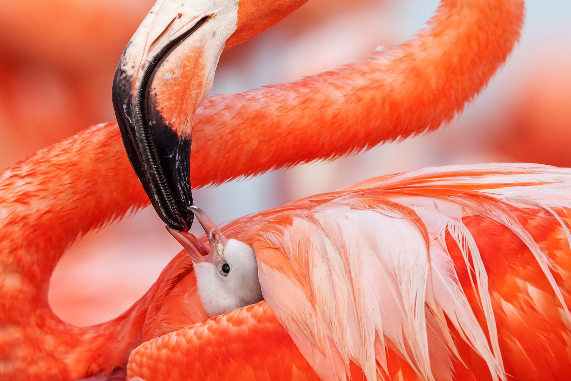 Beak to Beak by Claudio Contreras Koob (Mexico)Ría Lagartos Biosphere Reserve in the state of Yucatán is home to Mexico's largest flock of Caribbean flamingos. This chick, which is less than five days old, will stay in its nest for another day or so before it joins a crèche of other baby birds that wander around the colony searching for foodPhotograph: Caludio Contreras Koob/2019 Wildlife Photographer of the Year
