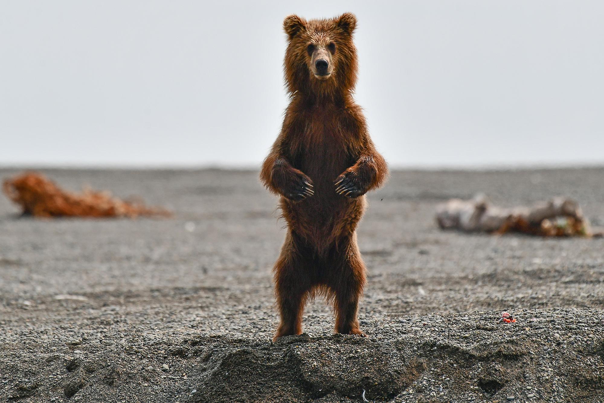 Камчатский край. Бурый медведь наберегу реки Хайлюли насеверо-востоке полуострова Камчатка.