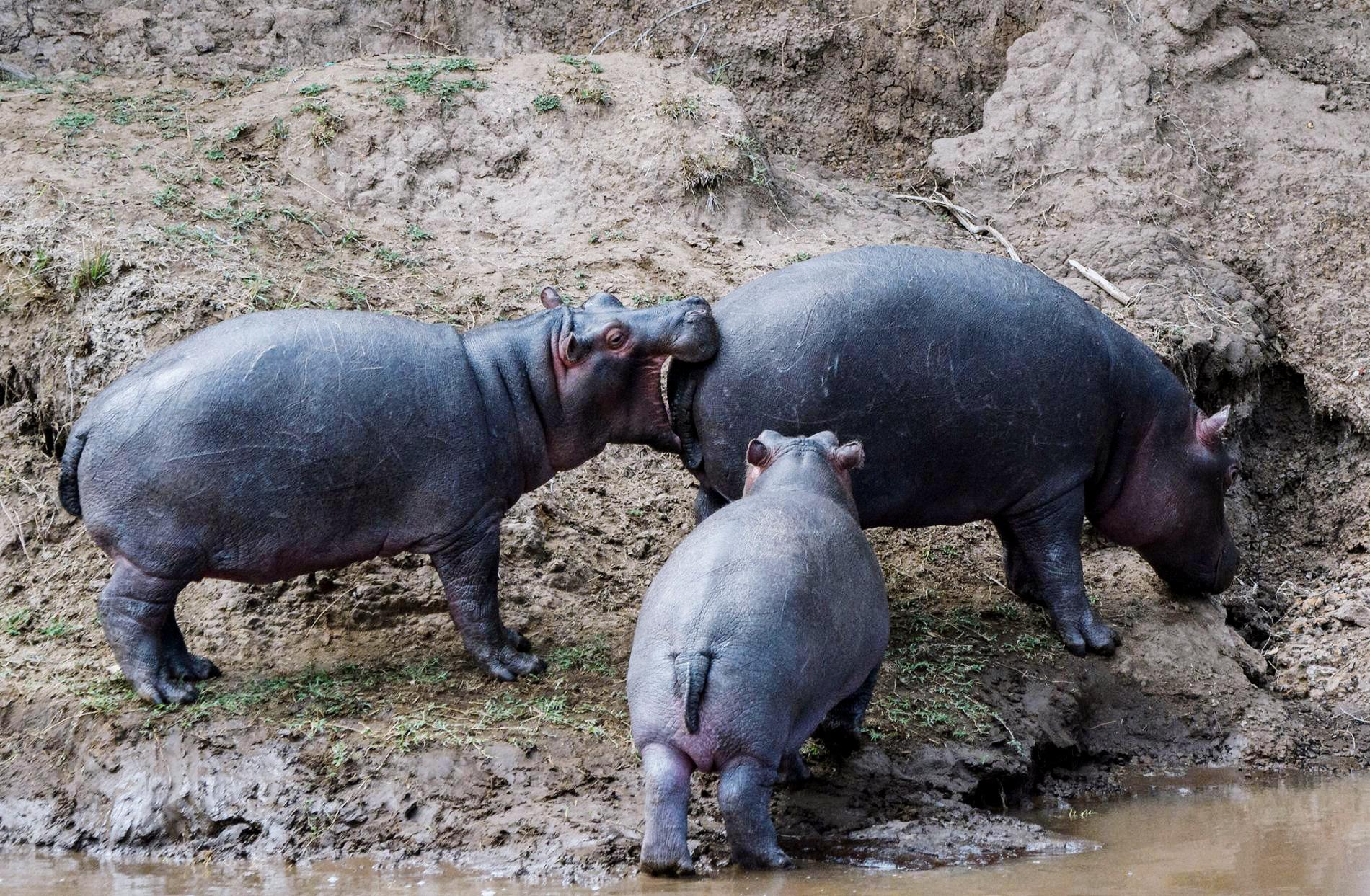 Гиппопотам схватился закусок, который ему явно непо зубам, Кения