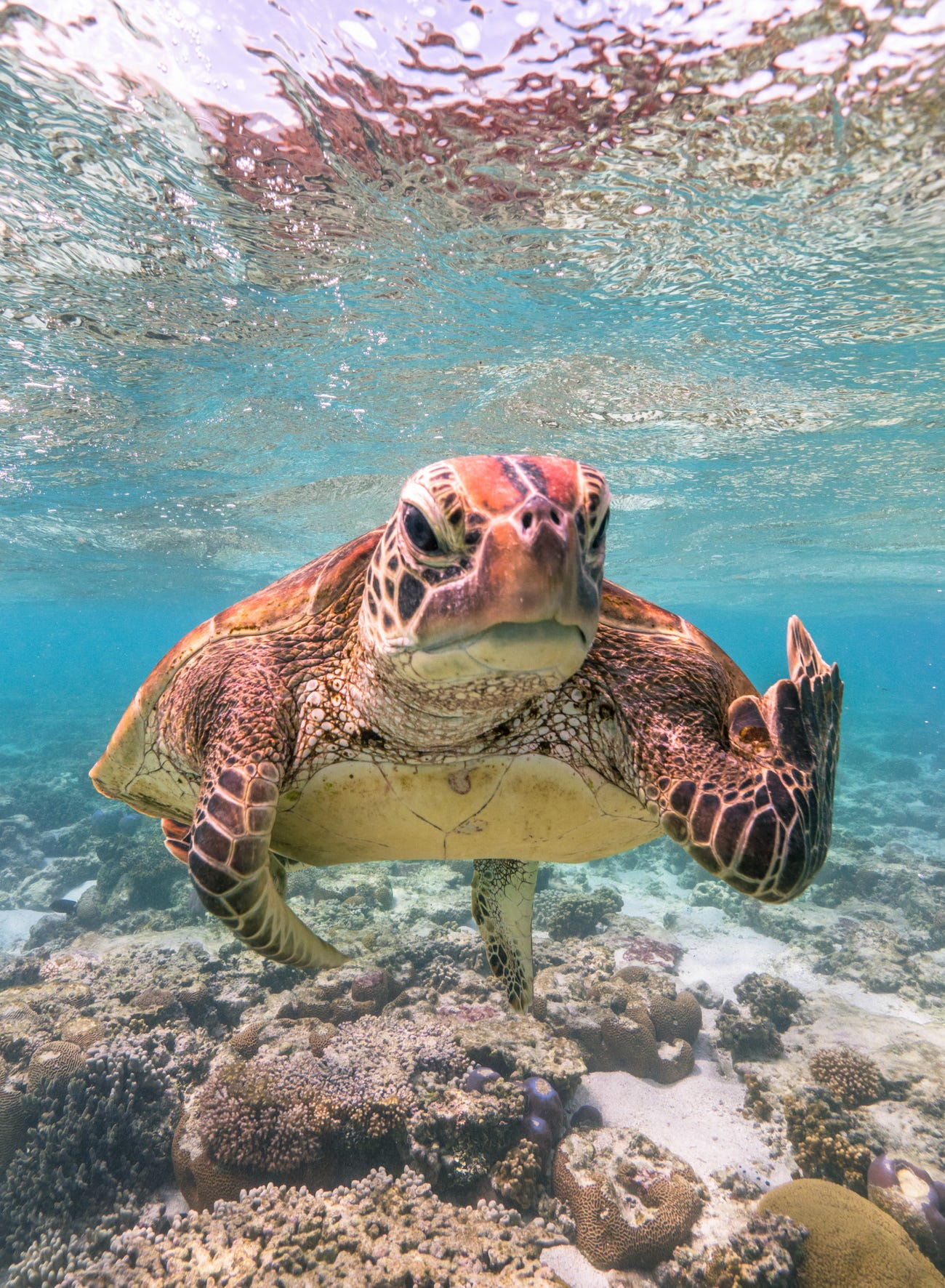 Terry the Turtle  Mark Fitzpatrick/Comedy Wildlife Photo Awards 2020Fitzpatrick spotted the turtle in Lady Elliot Island in Queensland, Australia