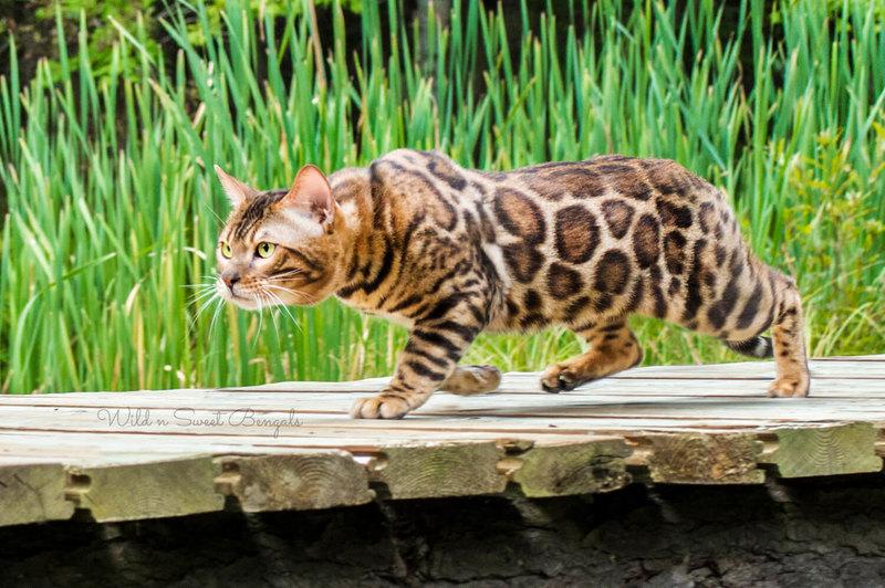 Бенгальская кошка — гибрид дикой бенгальской жительницы азиатских лесов идомашней кошки. Первое гибридное поколение было получено дляисследования лейкемии, последующие — длятого, чтобы пятнистые, но ласковые коты радовали хозяев