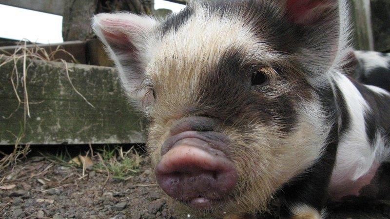 Минипиги, взависимости отпроисхождения, могут быть вовсе немаленькими ивесить как взрослый мужчина — до70−80 килограмм. Впрочем, посравнению ссельскохозяйственными породами свиней они все равно малыши — вполтора-дв, а то ив четыре раза меньше.