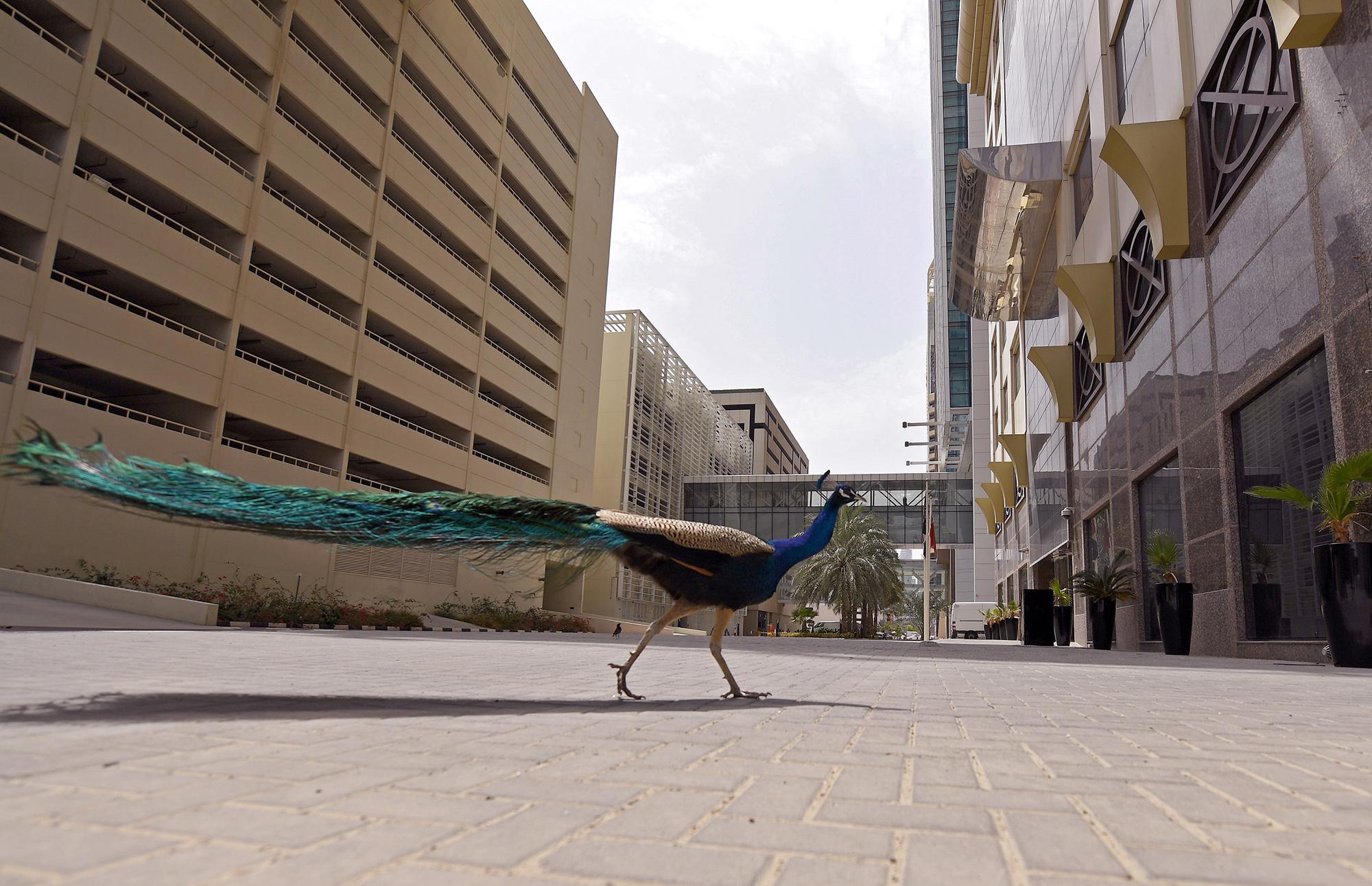 Одинокий павлин гуляет поулицам Дубая