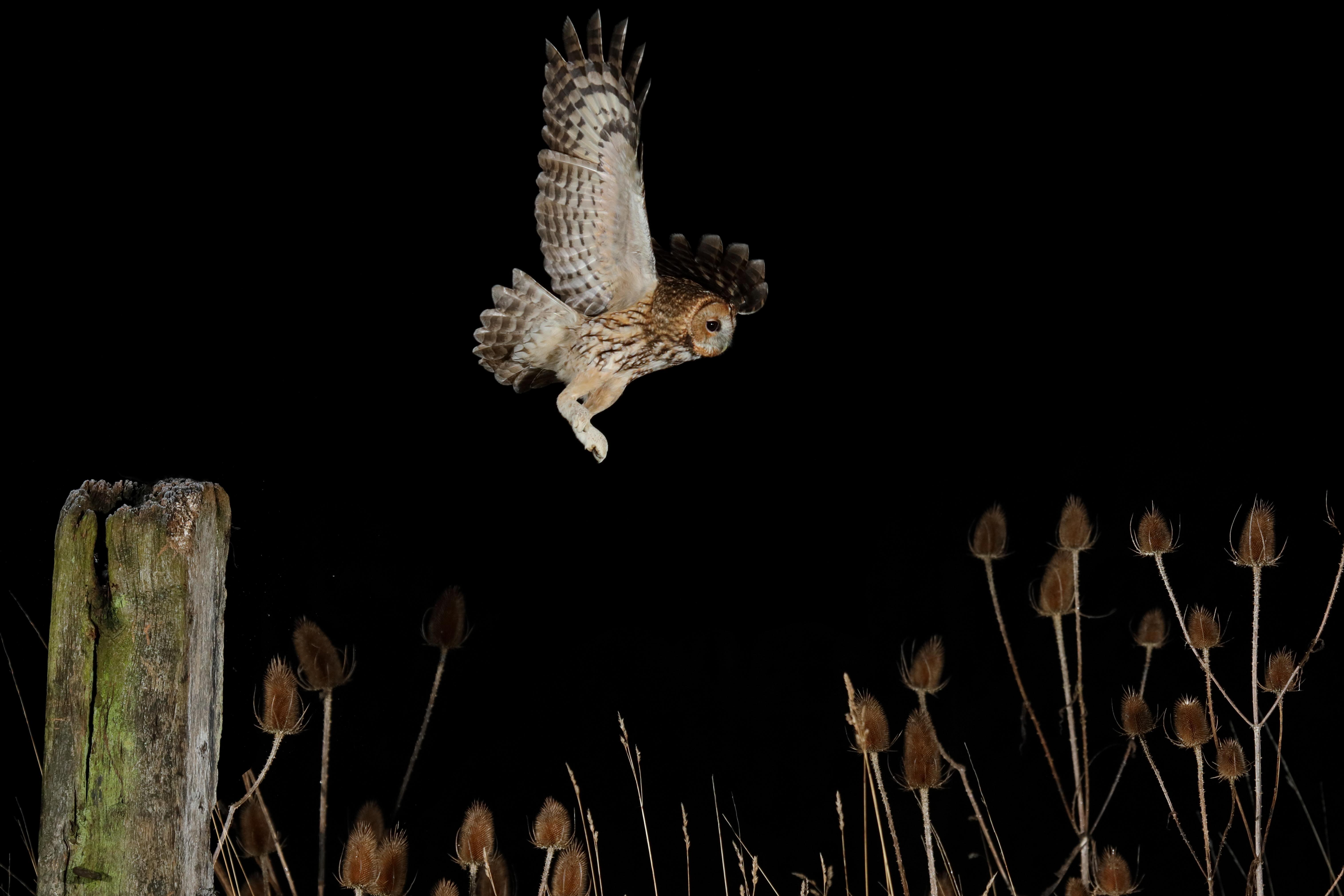 Неясыть обыкновенный охотится ночью намышей, Бурн, Англия.