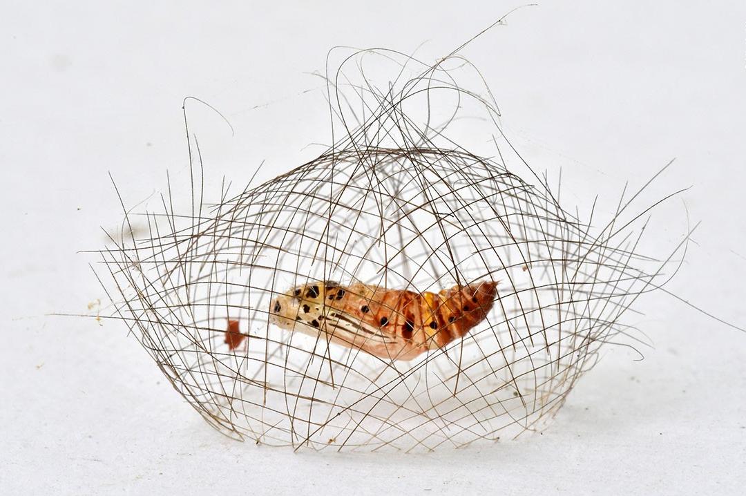 Коконовая клетка длиной 4 см, которая защищает гусеницу, пока она превращается вкуколку.