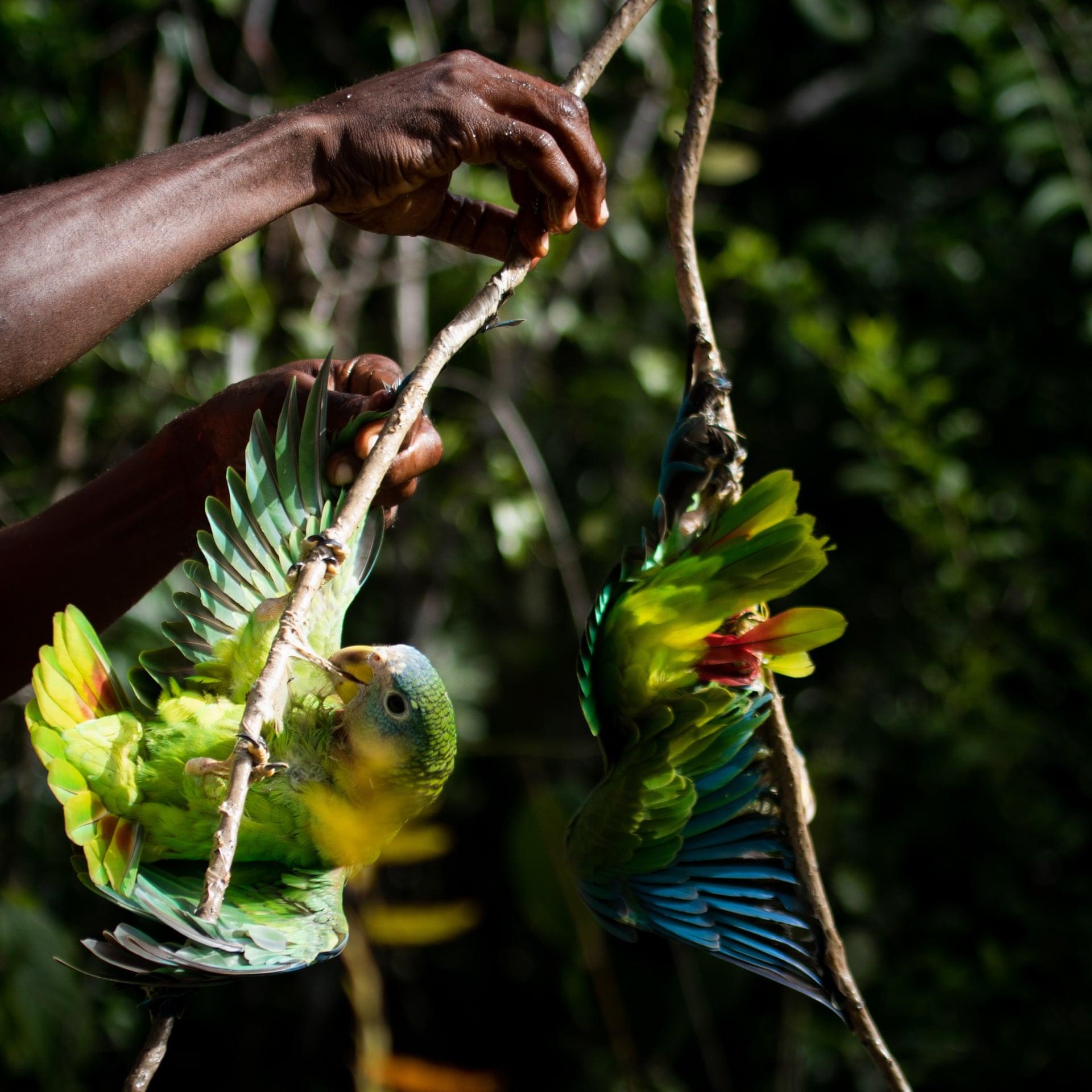 Вы видите эпизод изохоты напопугаев наБольших Антильских островах. Эта охота — одна изтрадиций народов Карибского бассейна. Врезультате попугаи находятся подугрозой исчезновения.