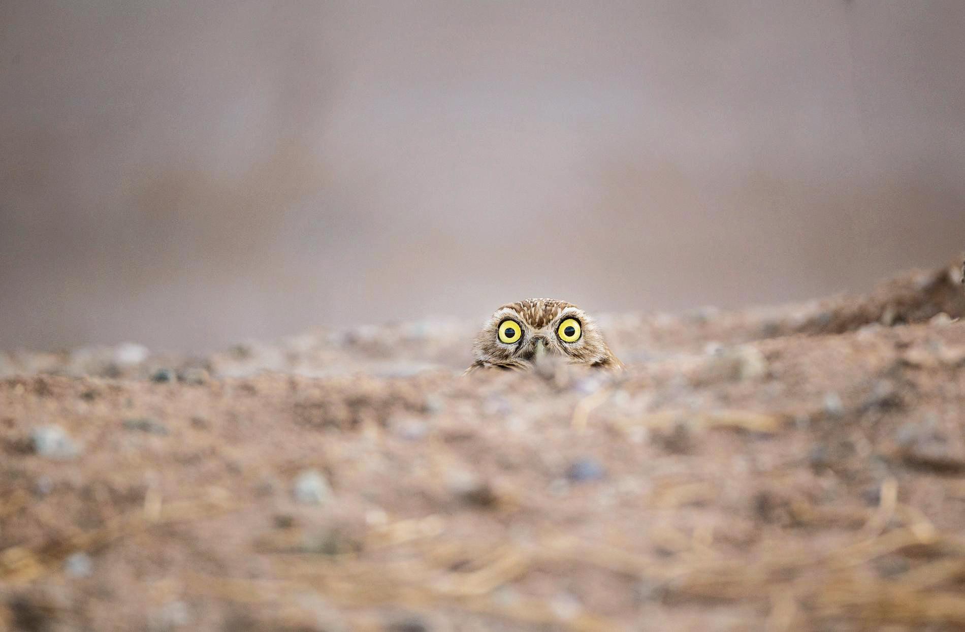 Любопытная сова выглядывает из-под земли.