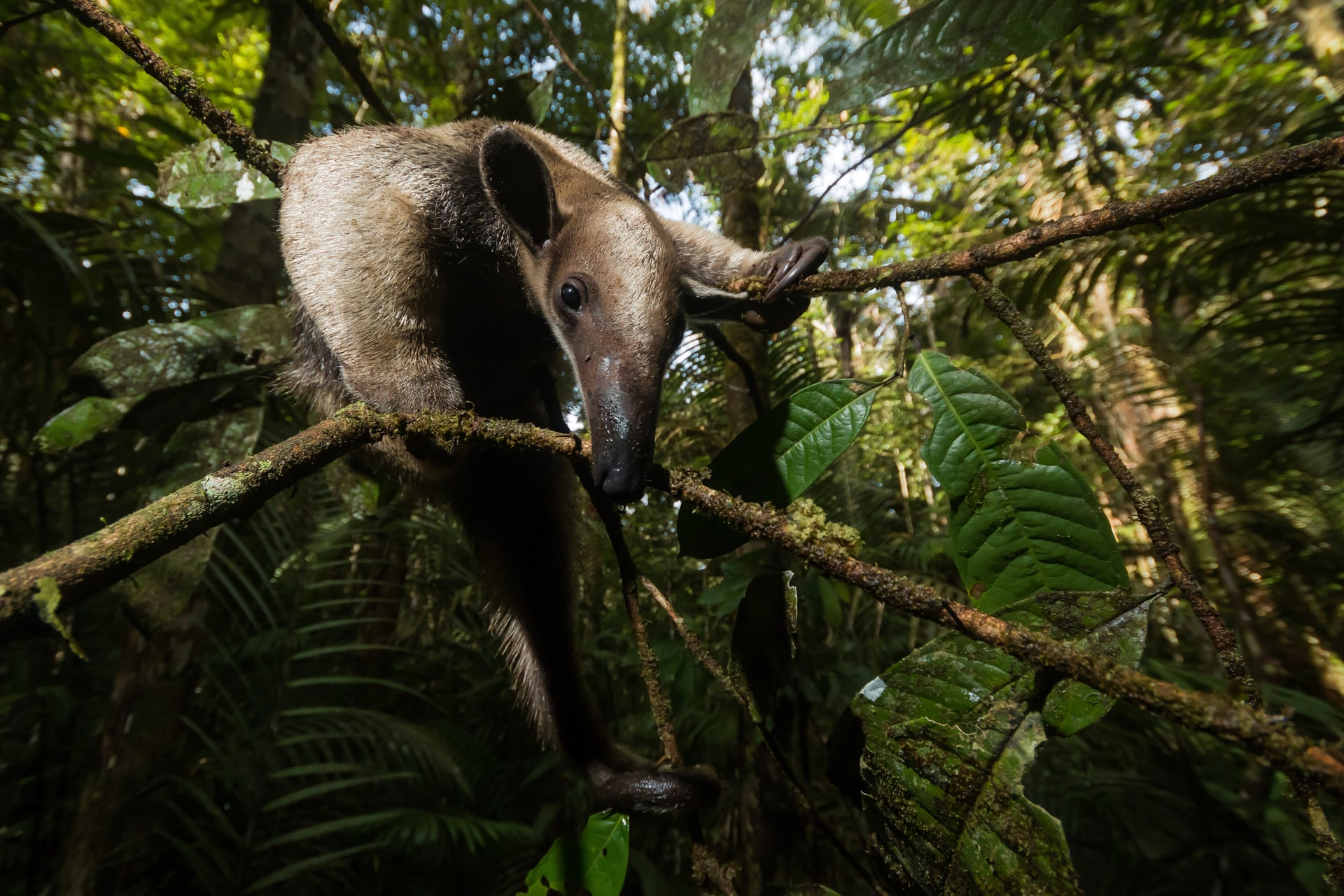 Внимание фотографа, который искал укрытия летучих мышей, привлек шум — муравьед пробирался сквозь запутанные ветви илианы. Животное спокойно наблюдала, как его фотографируют. Снимок сделан вМанаусе, Бразилия.